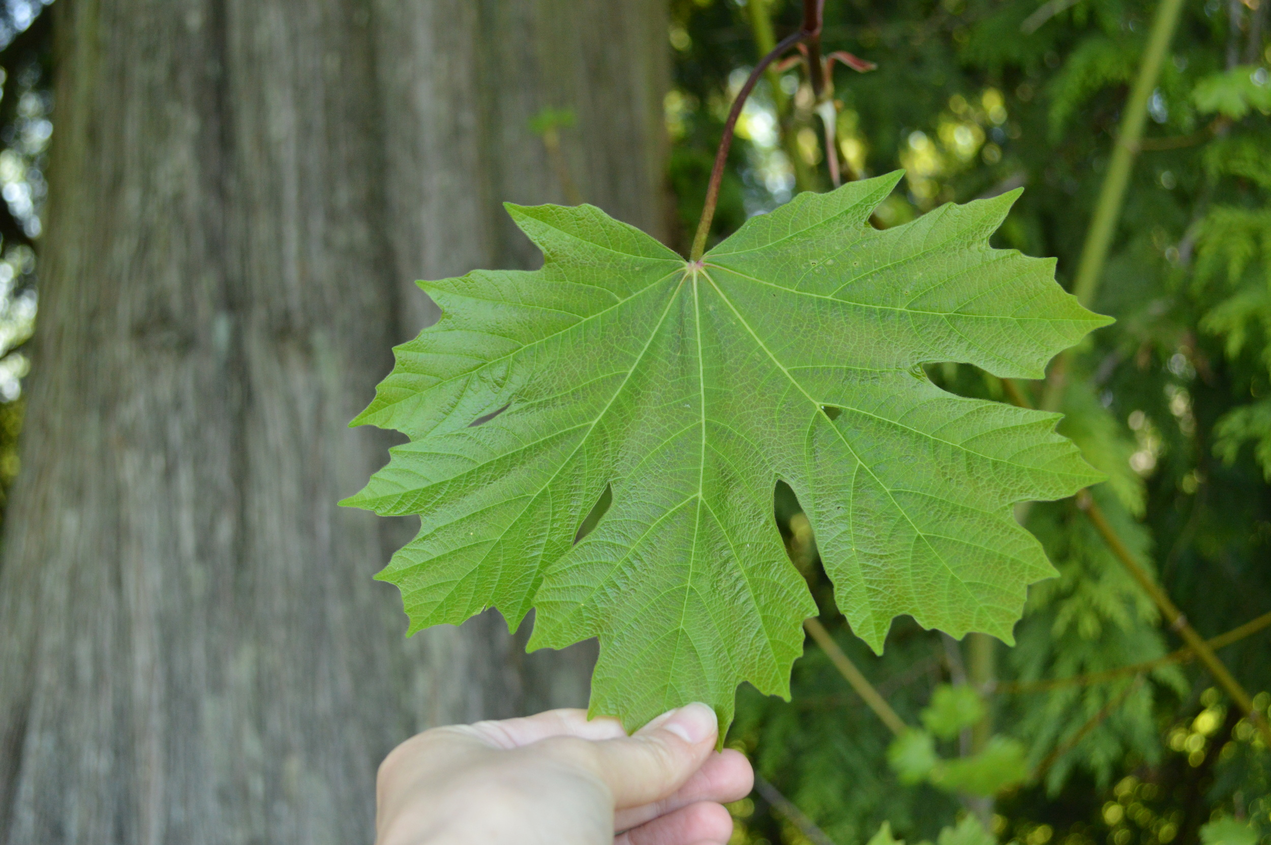 The leaf of a Bigleaf maple. I can see how it gets its name!