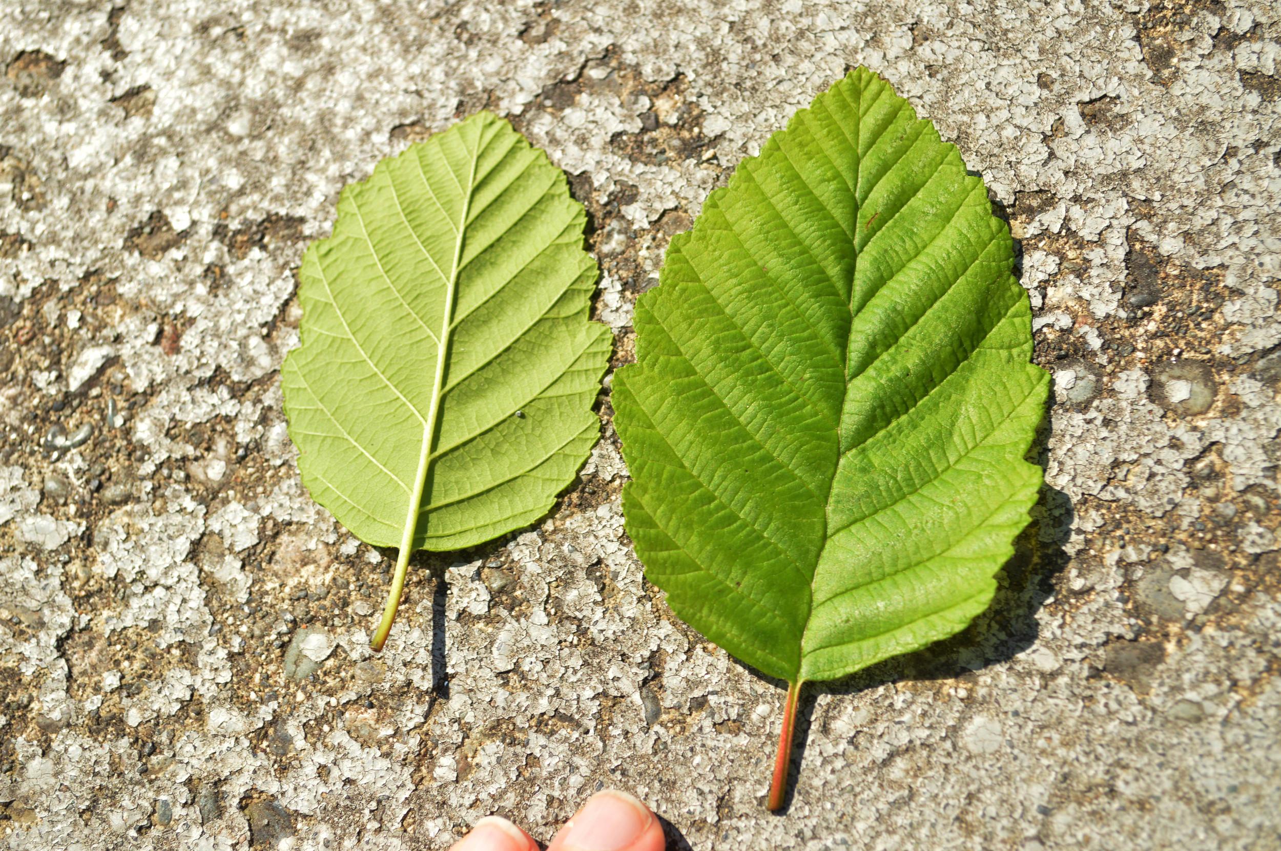 Tree Id Red Alder Trees Vs Black Cottonwood The