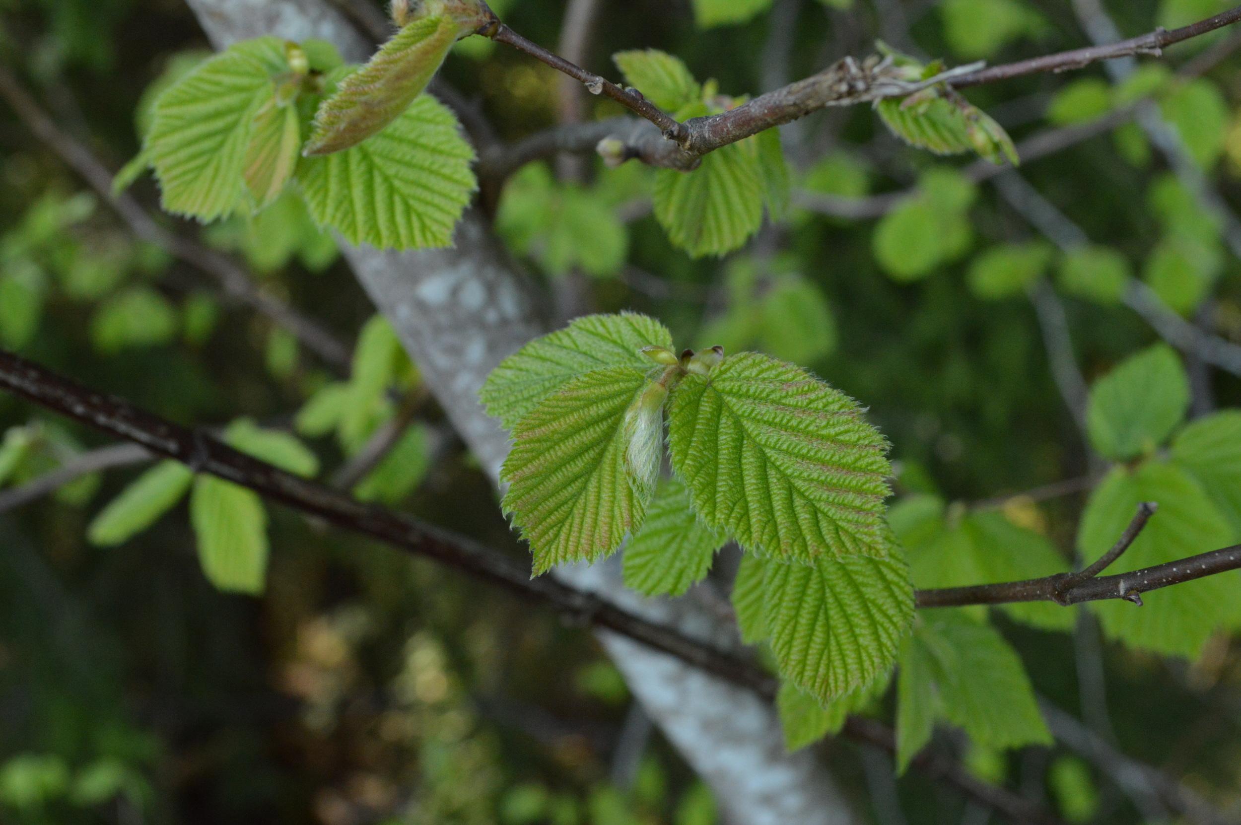 The emerging springtime leaves of a sitka alder tree, a smaller, shrubbier alder with multiple trunks.