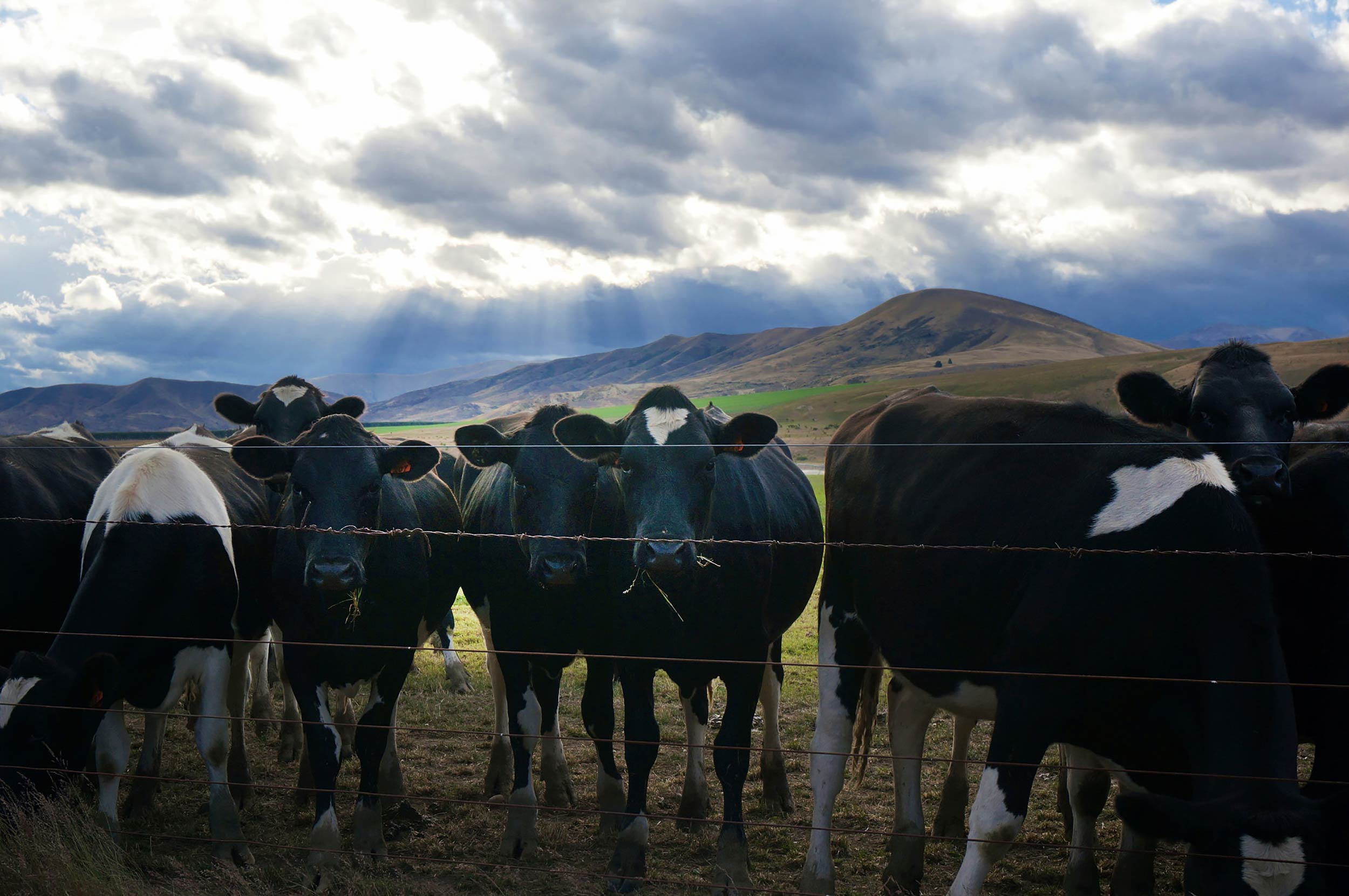 mt_cook_driving_cows_by_roadside.jpg