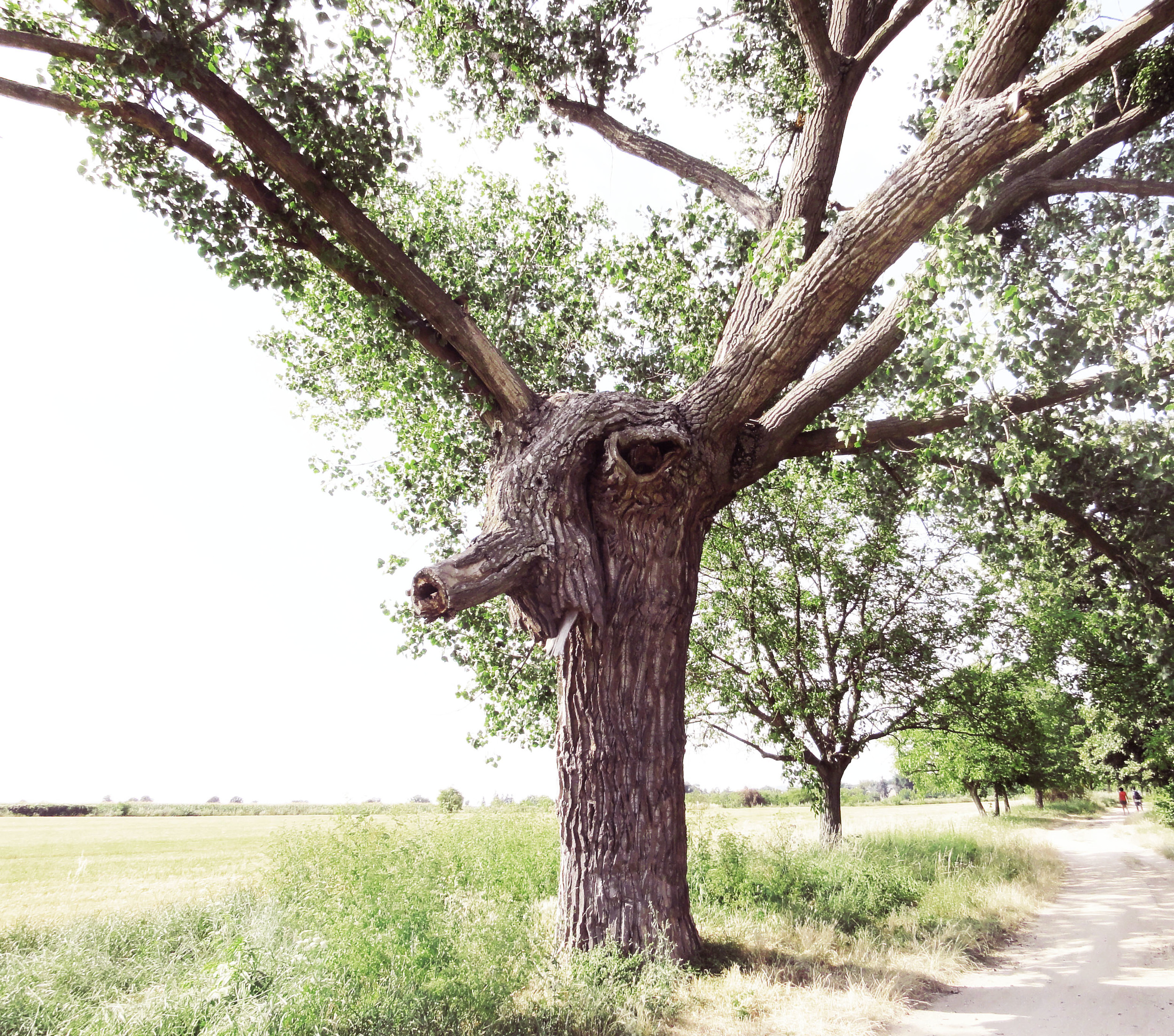 """We saw amazing trees, in this one I saw a deer with funny nose. In another one were big owl eyes or funny face with crazy hair from branches.  //  Cestou jsme viděli i jiné zázraky přírody, jako třeba """"skoro živé"""" stromy. Tenhle mi připomínal jelena se srandovním nosem. Na jiných byly zase vidět obří soví oči nebo legrační obličej s bláznivými vlasy z větví."""