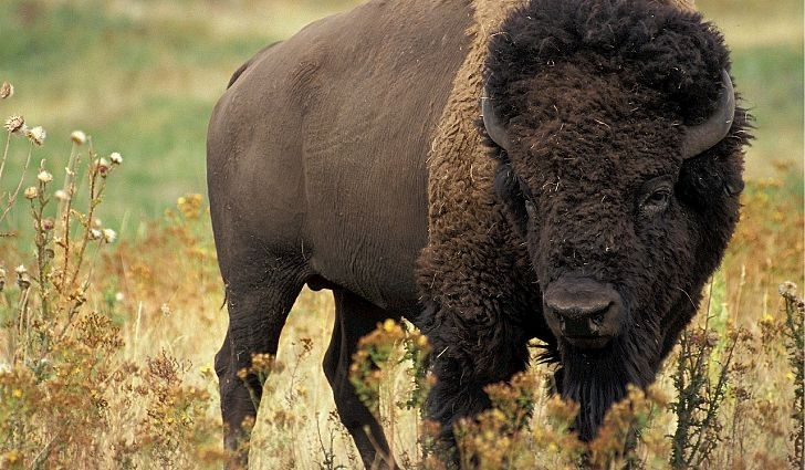 I'm told buffalo are unpredictable and dangerous. They're also very, very tasty.