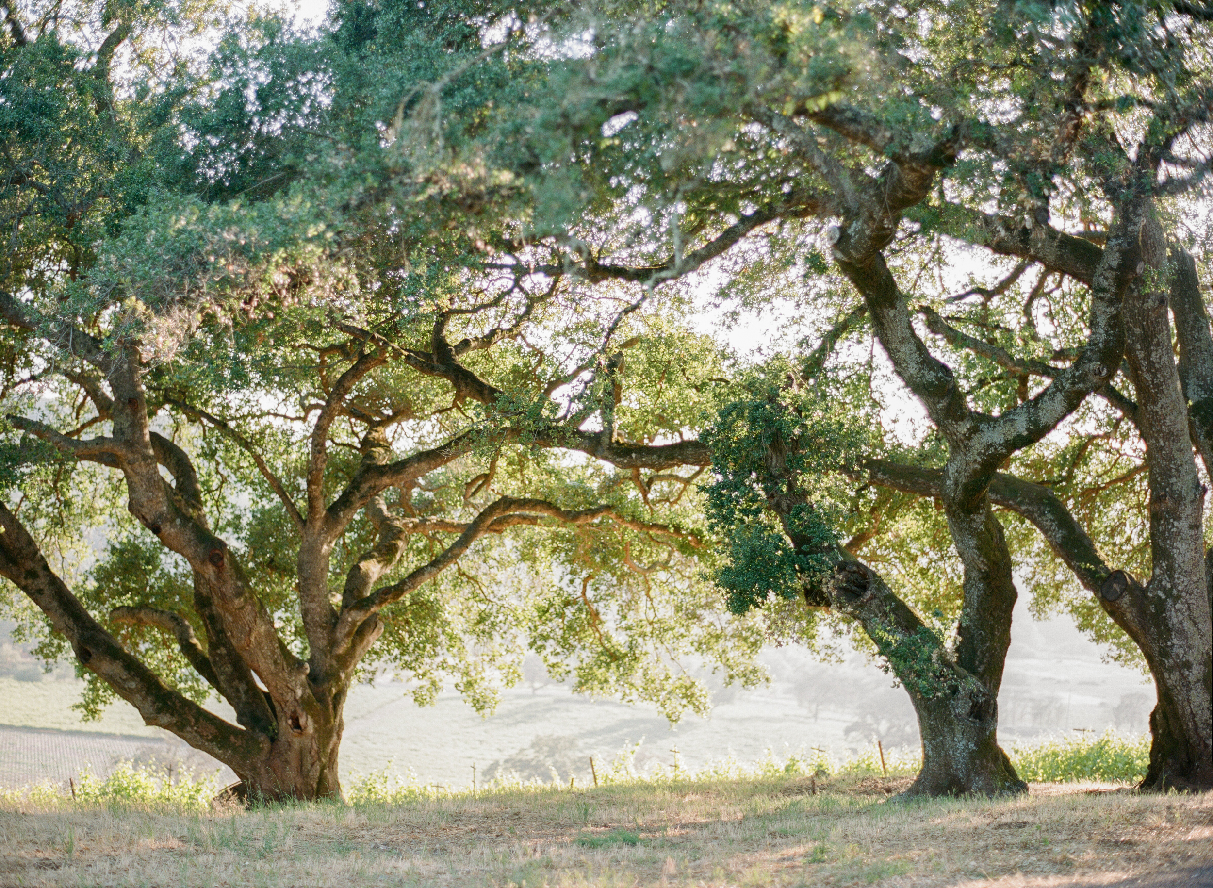 The sunlight filtering in through ancient oaks in California wine country make for a magical ceremony setting; photo by Sylvie Gil