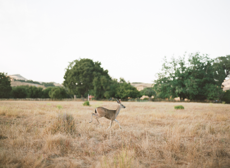 A deer runs through a grassy field in the Santa Lucia Preserve; Sylvie Gil Photography