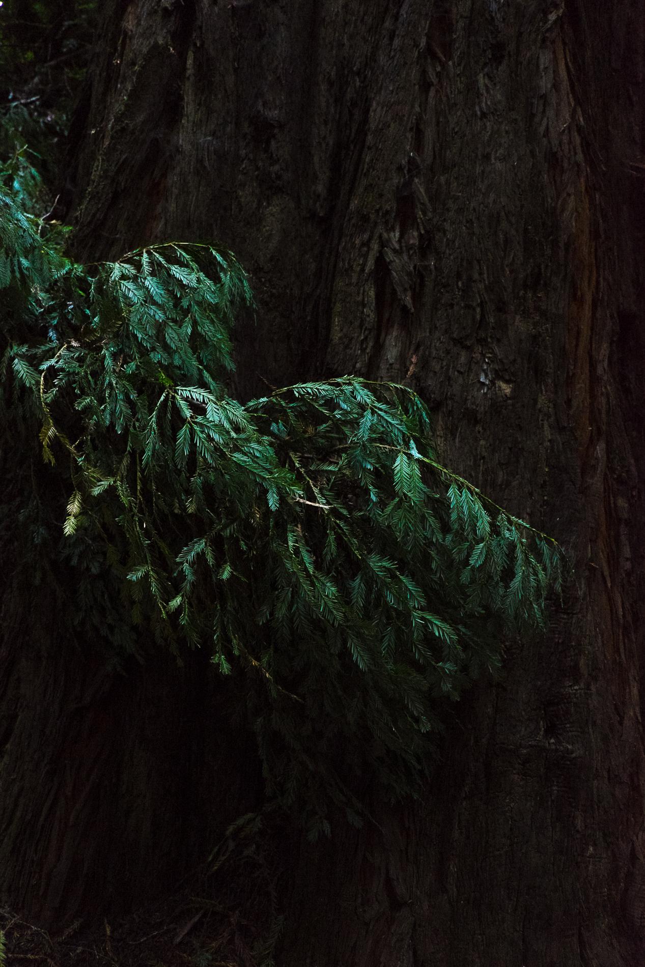 Turner_redwood_fingers.jpg