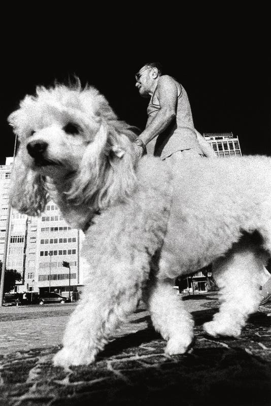 cachrro-poodle-calcadao-copacabana-kittyparanagua.jpg