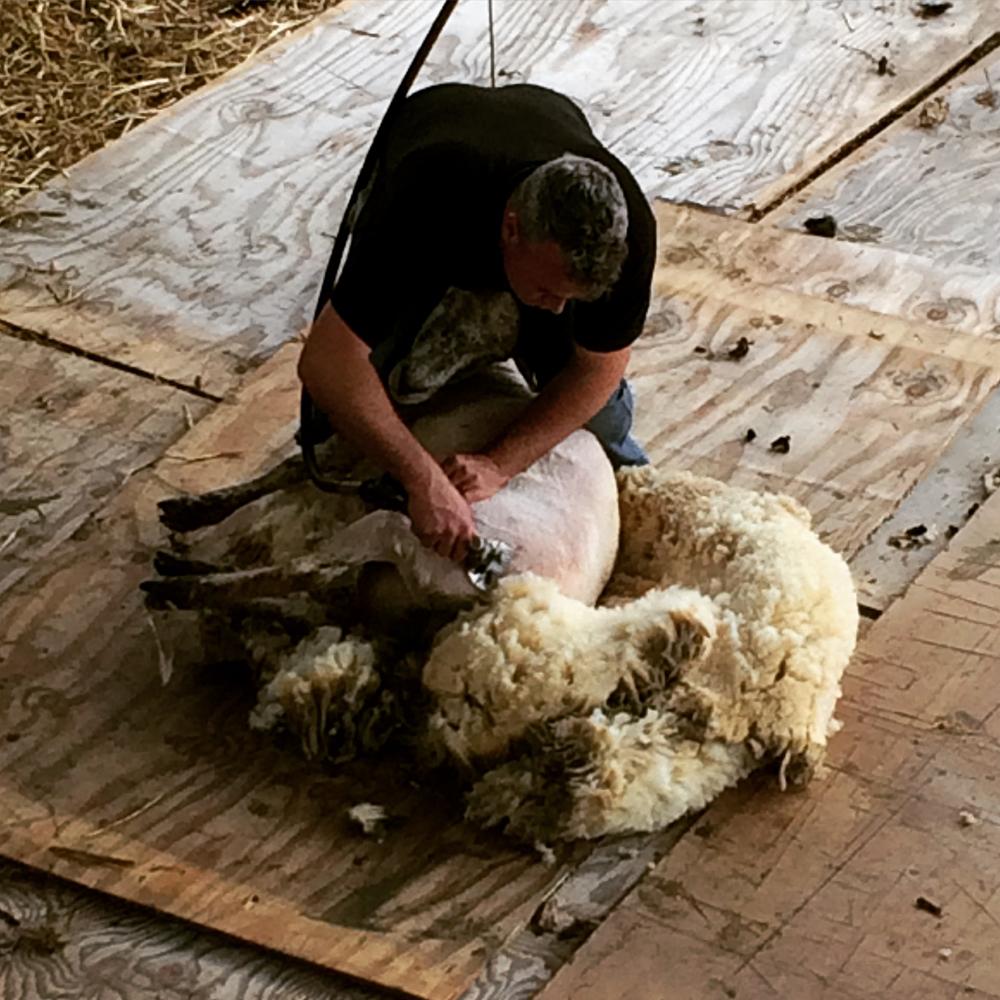 Sheep shearing by farmer Dave.