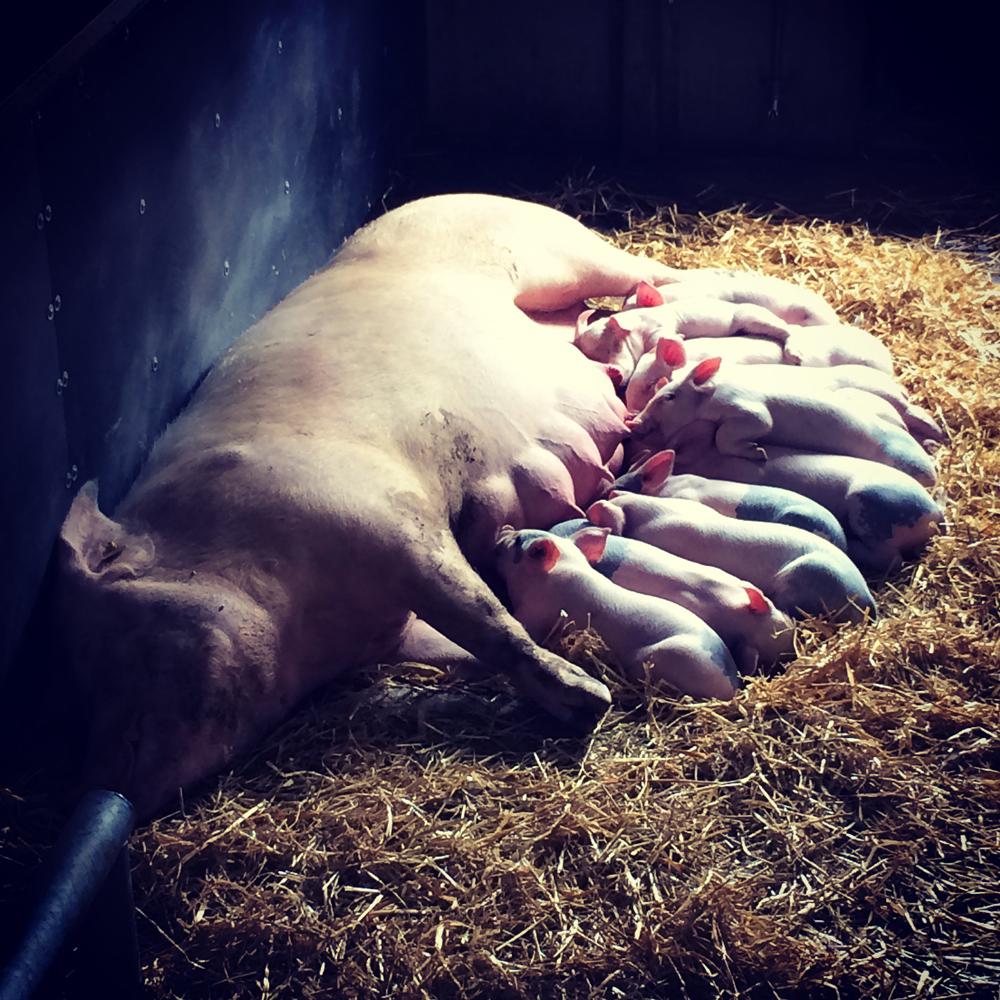 Mummy pig feeding her piglets at Cannon Hall Farm