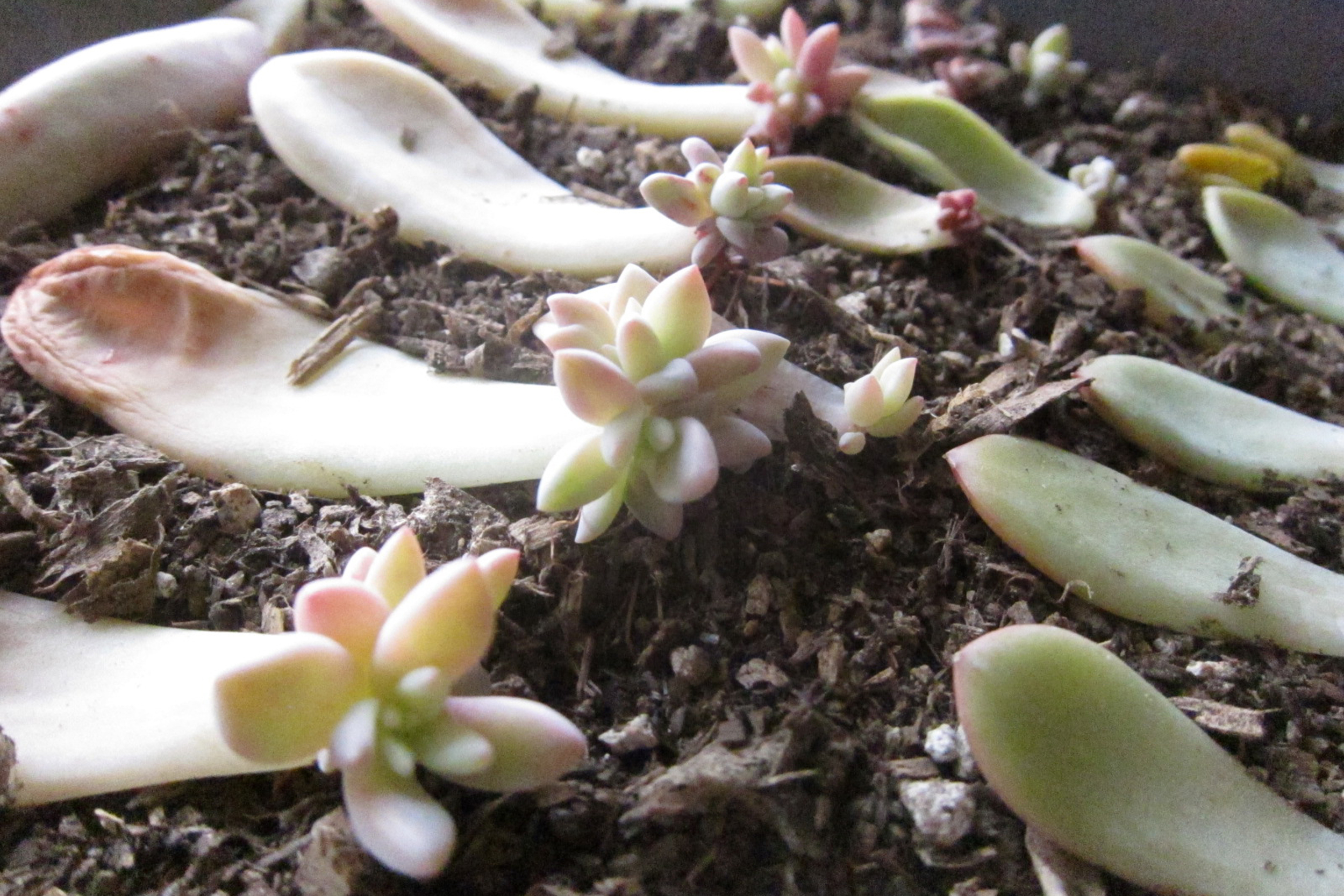 Propagating Succulents via Needles + Leaves. How to propagate succulents from leaves and cuttings.