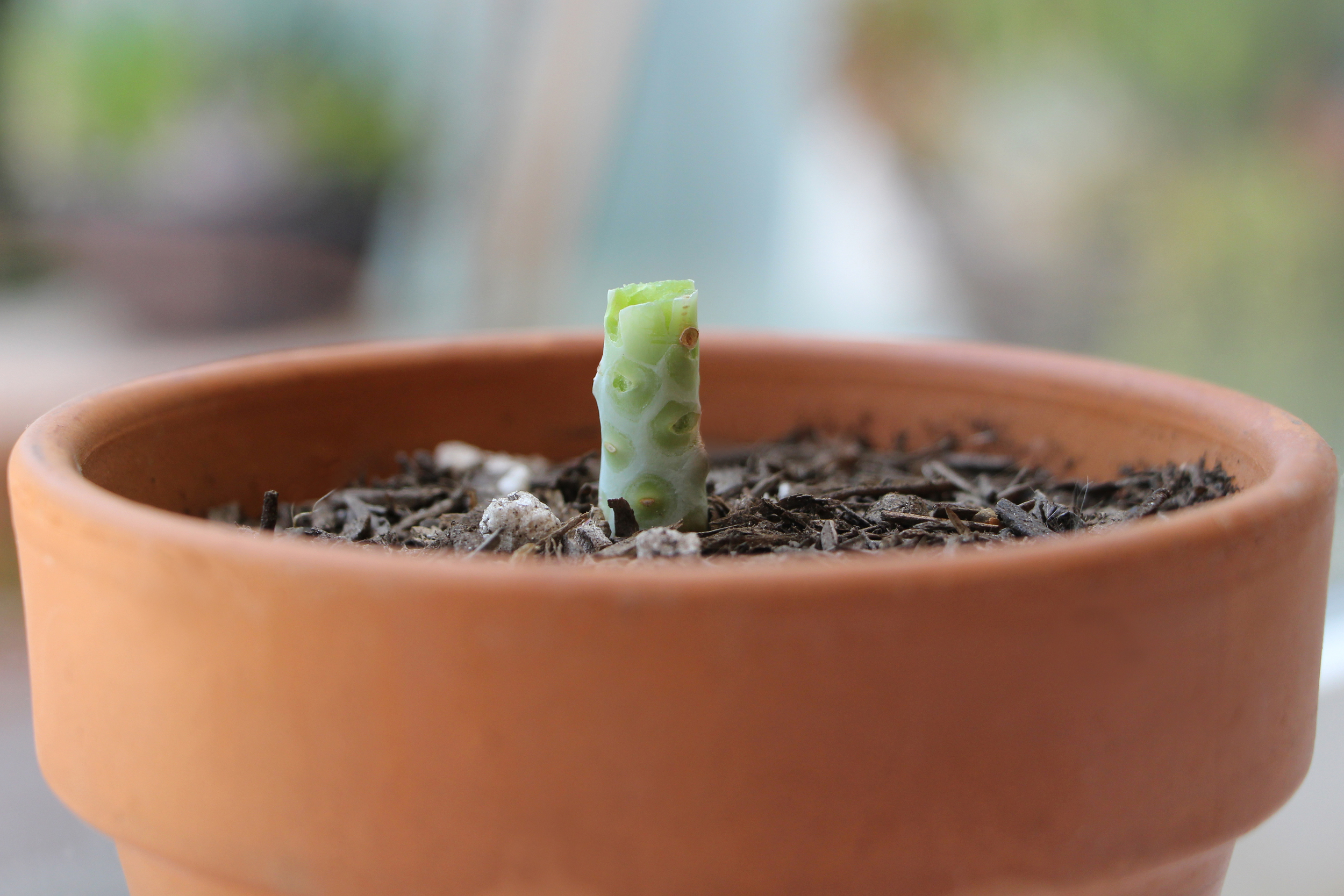 Succulent Stem: Propagating Succulents via Needles + Leaves. Learn how to propagate succulents from leaves and cuttings.