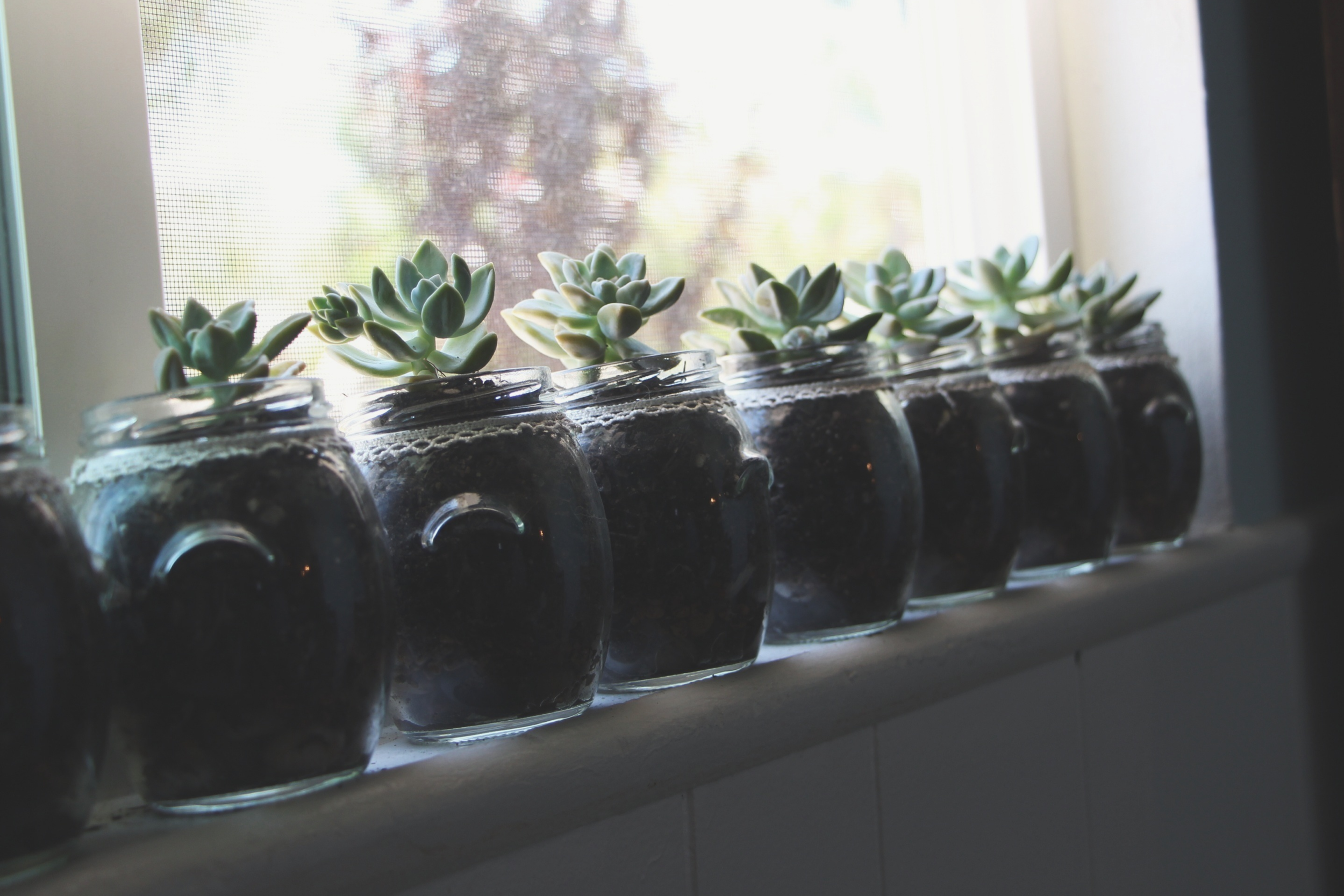 succulents in jars via needles + leaves