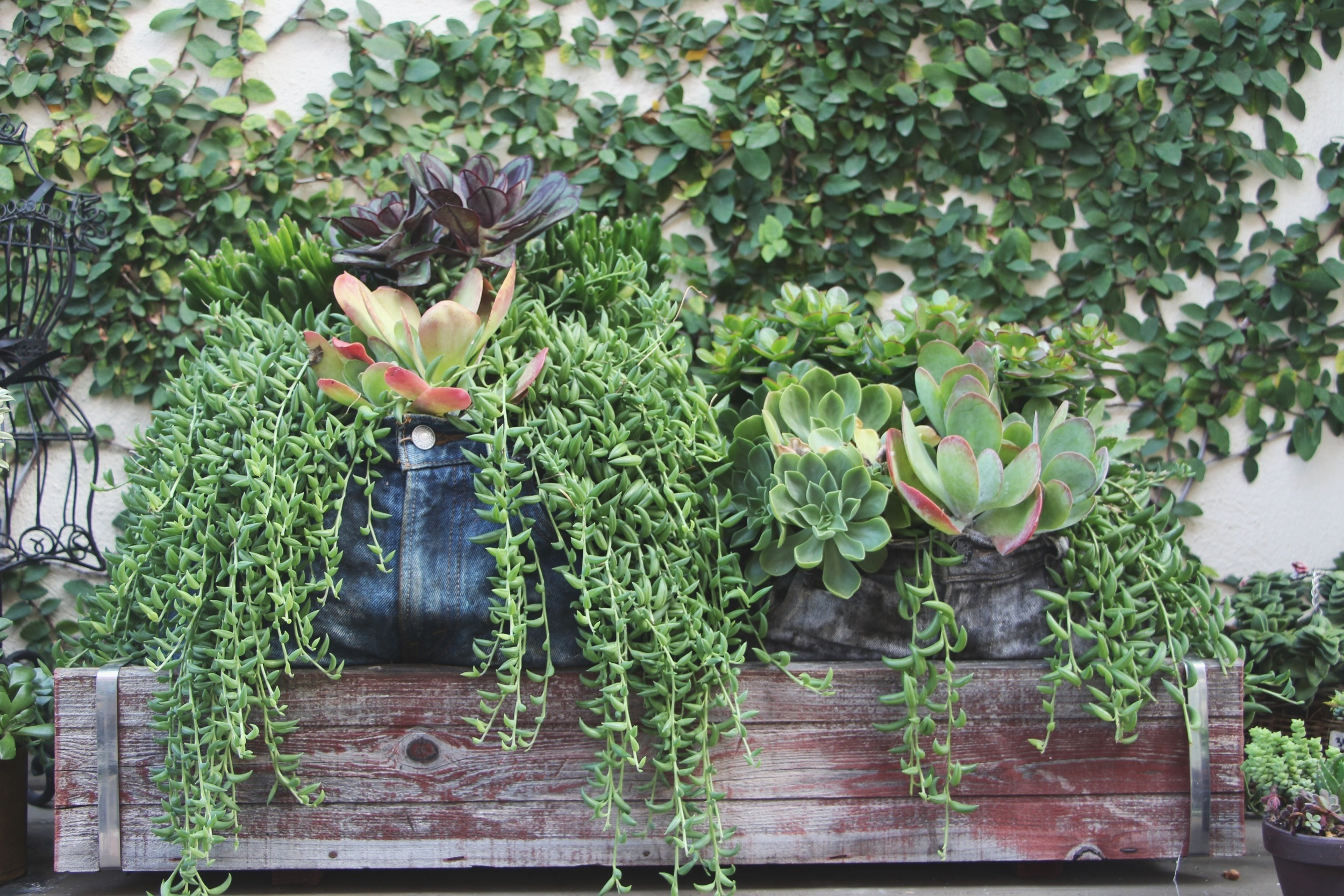 Succulents in Jeans at the Succulent Cafe Oceanside via Needles + Leaves