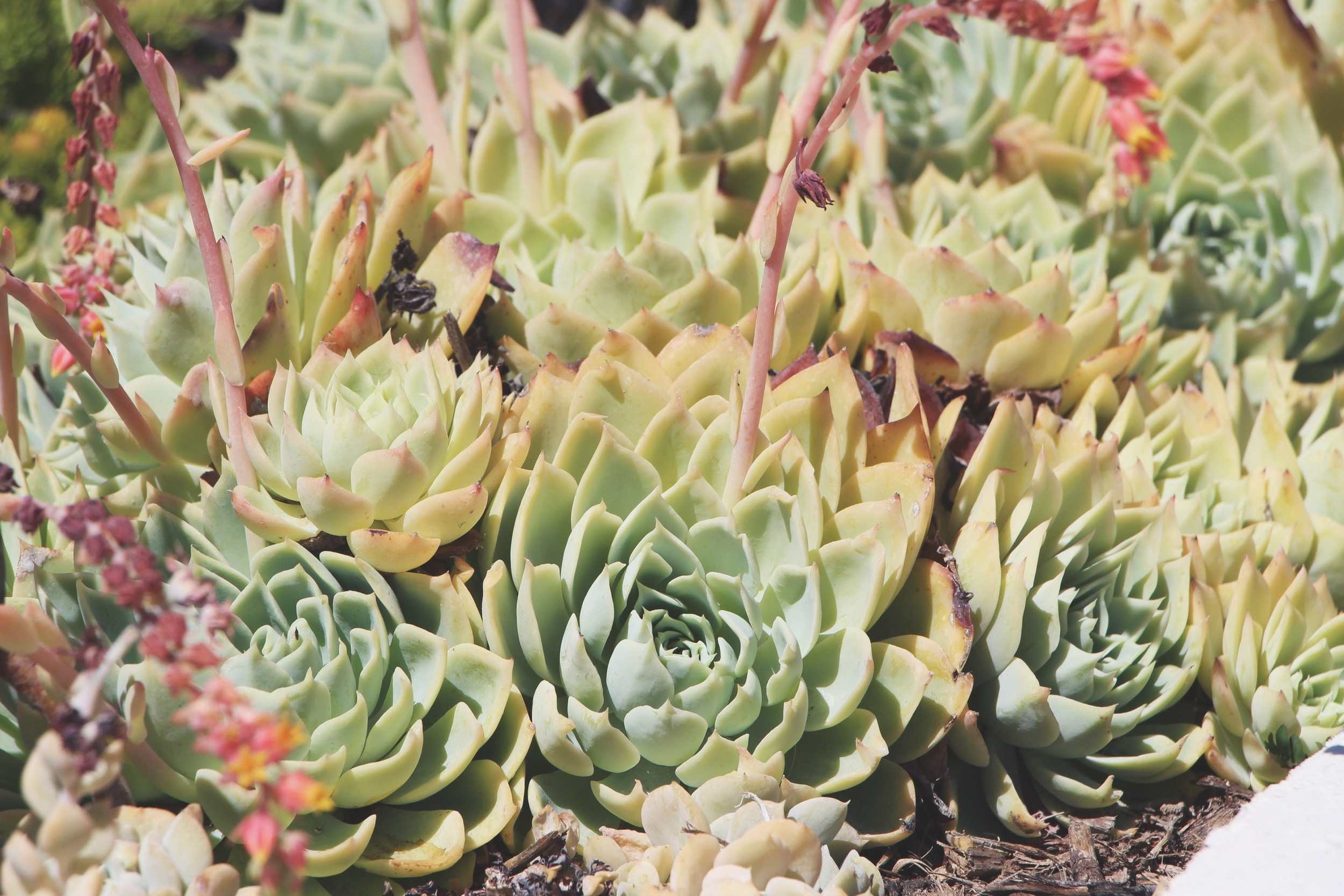 Succulents at the Hotel Del Coronado via Needles + Leaves