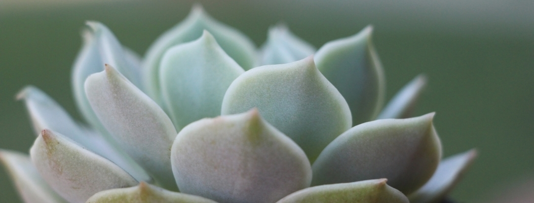 "echeveria 'lola"" succulent via needles + leaves. read how to grow succulents, tips for growing healthy succulents, how to propagate succulents from cuttings and leaves."