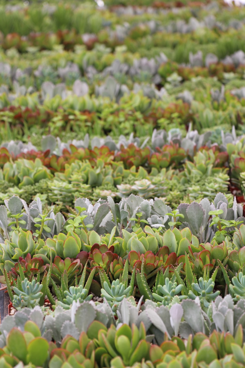 Rancho Vista Nursery: Quality Cactus and Succulents in Vista, CA