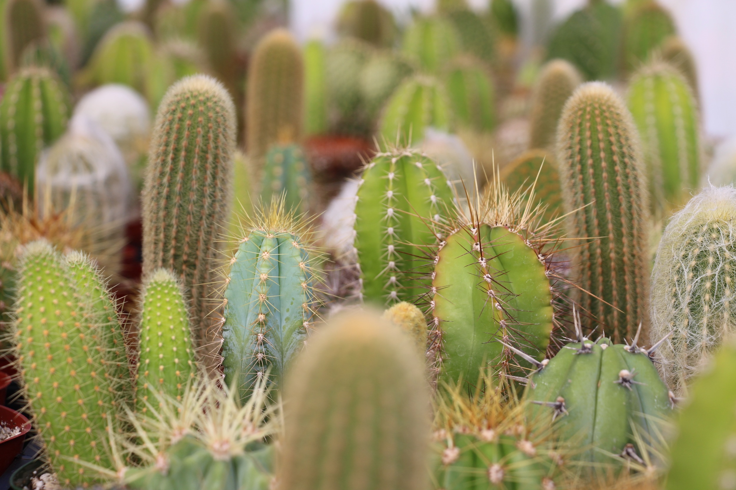 Rancho Vista Nursery in Vista, California. Quality cactus and succulents sold wholesale to the trade and public.