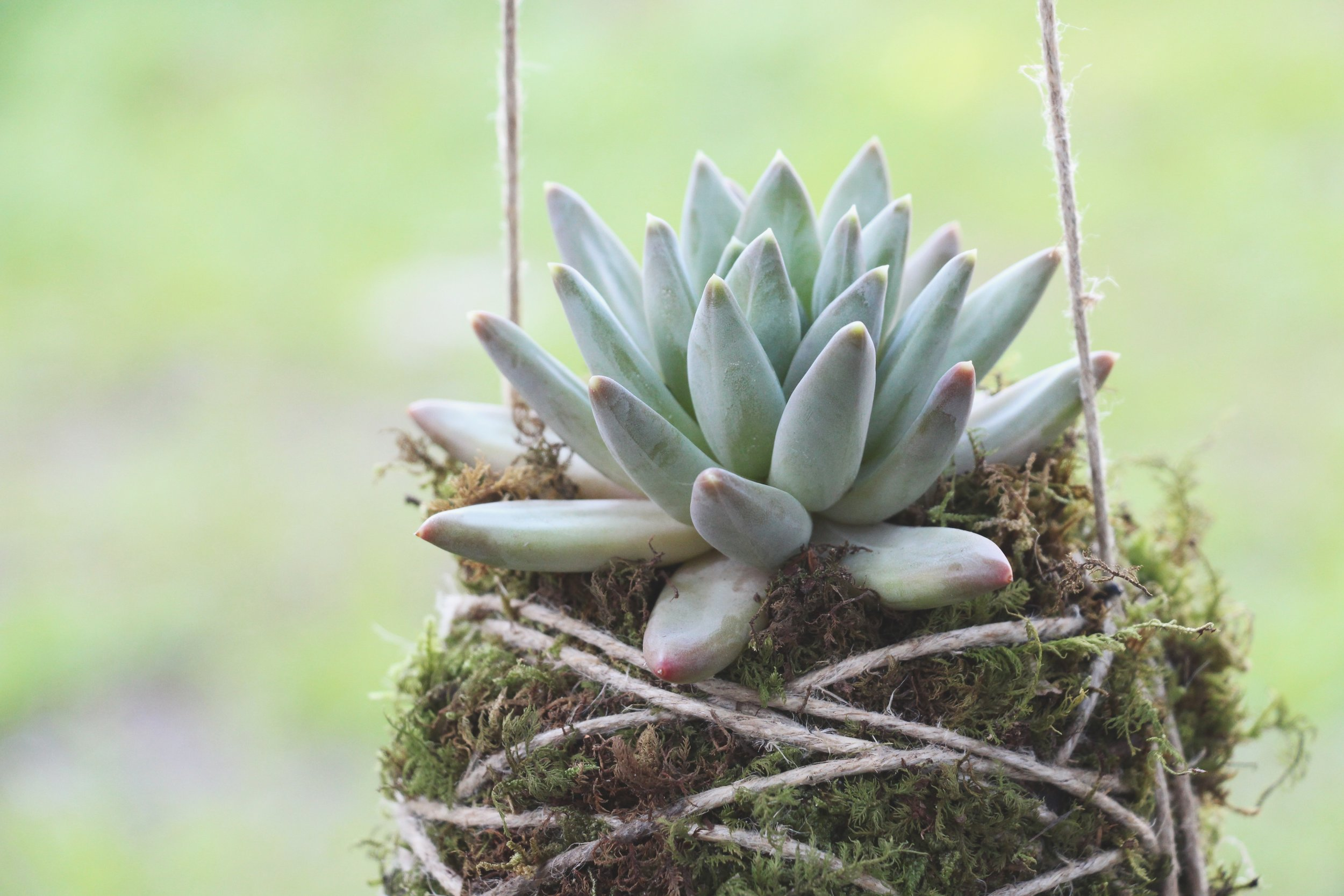 Pachyveria 'Little Jewel' succulent photo by Needles + Leaves