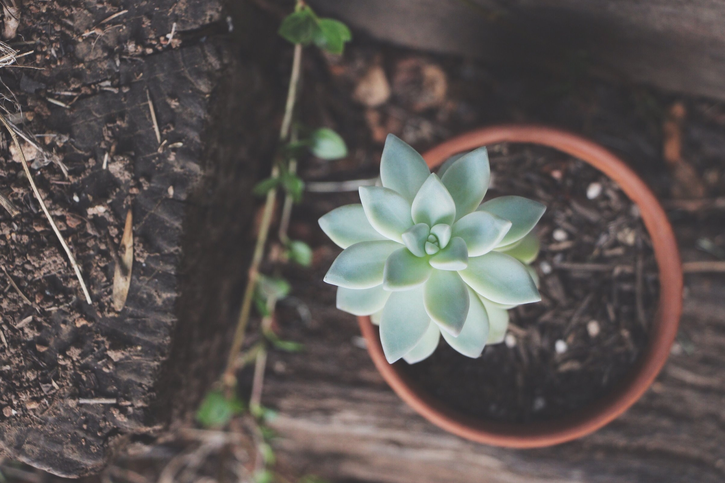 Graptosedum 'Ghosty' succulent photo by Needles + Leaves