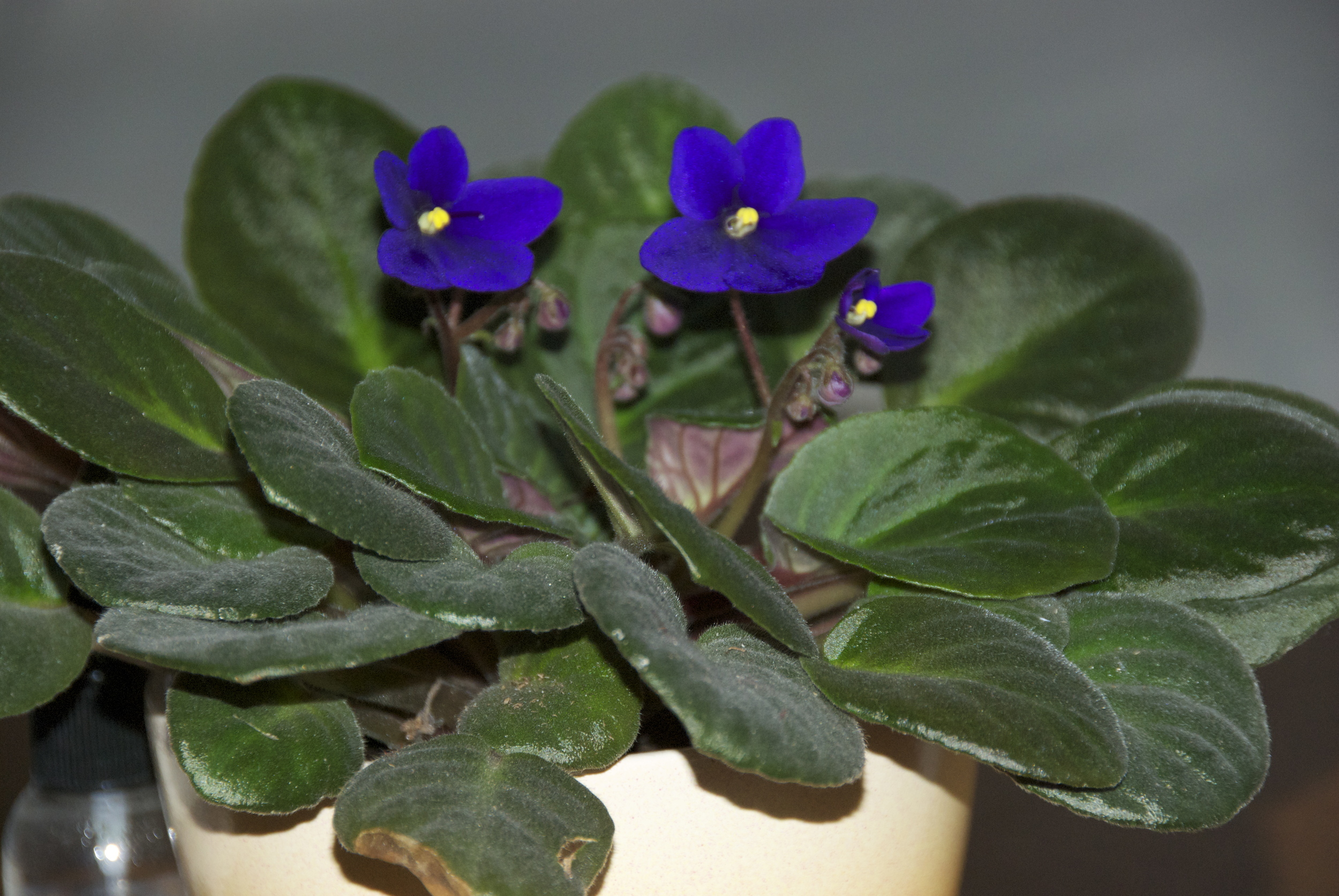 The African Violet