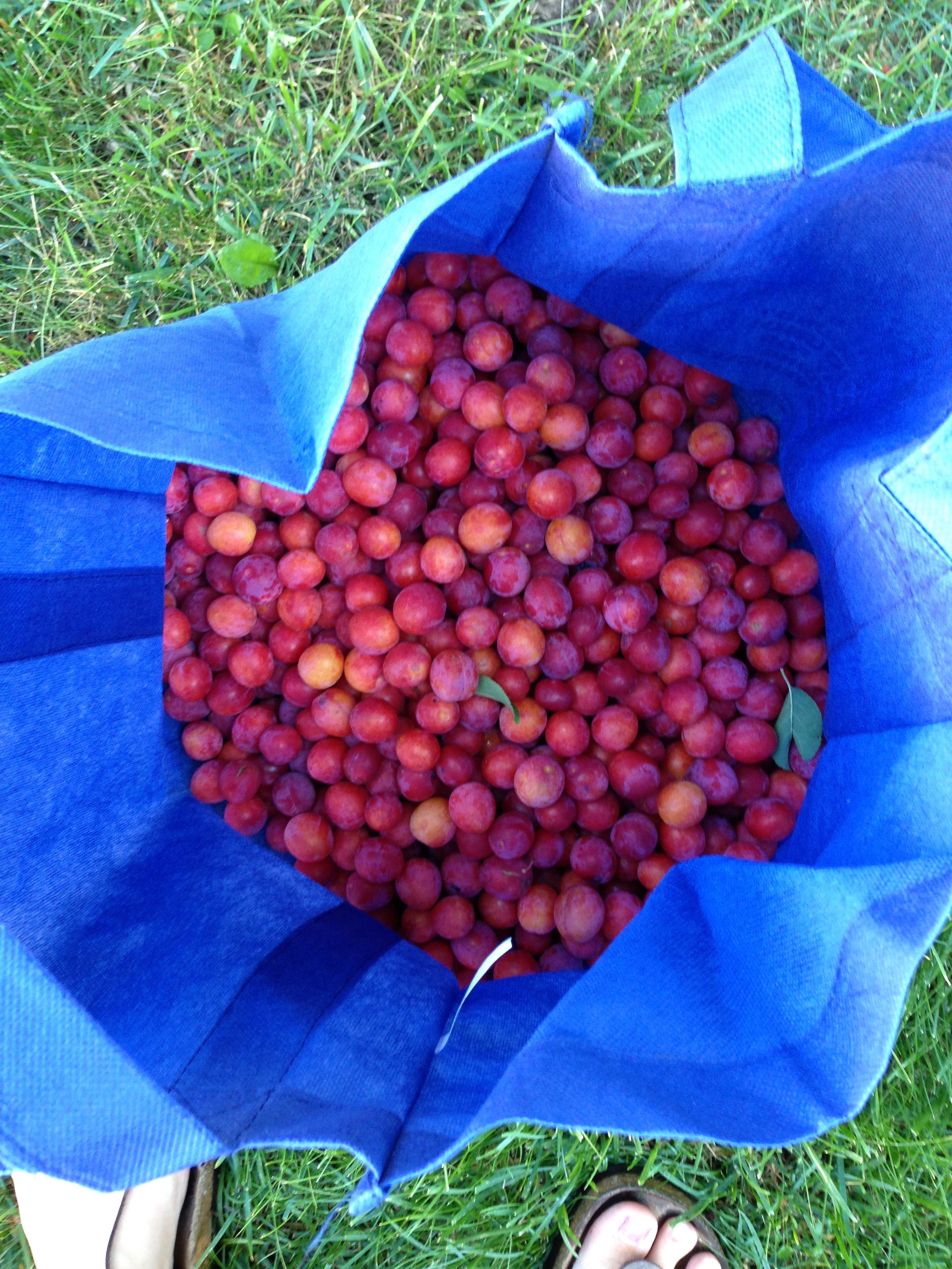 A million mini plums!