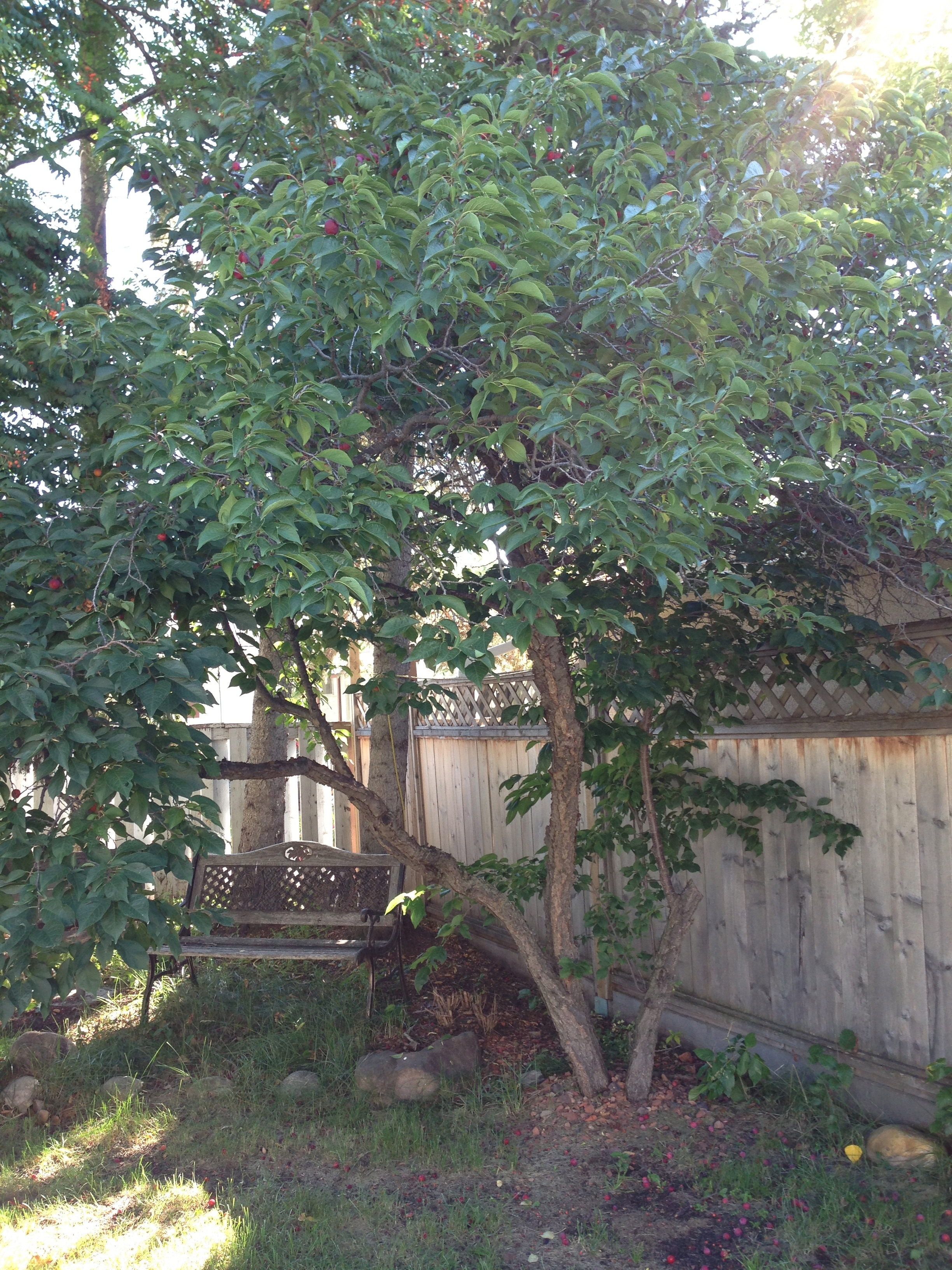 Senior Plum Tree