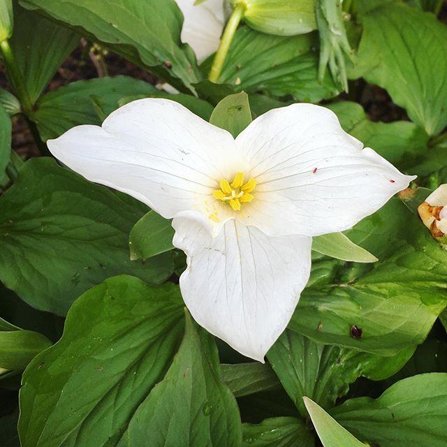 Trillium. I think I'll keep you ;) 💚 #trillium #gardening #flower #bloom #spring