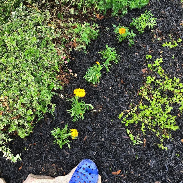 Getting that garden therapy on. 💚🌱 #gardening #cedarmulch #marigold #frontgarden #gardentherapy