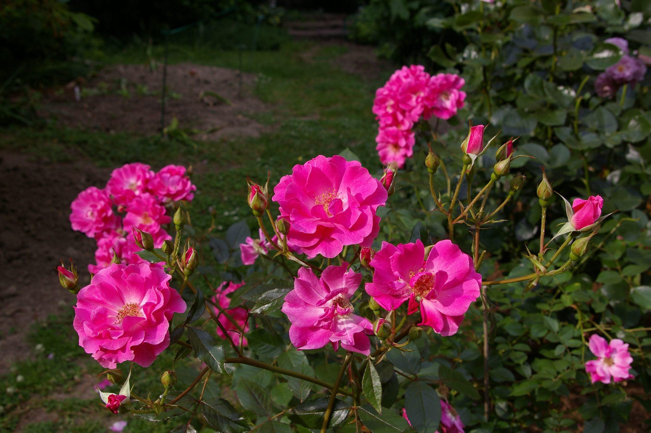 Knock-Out Shrub Roses