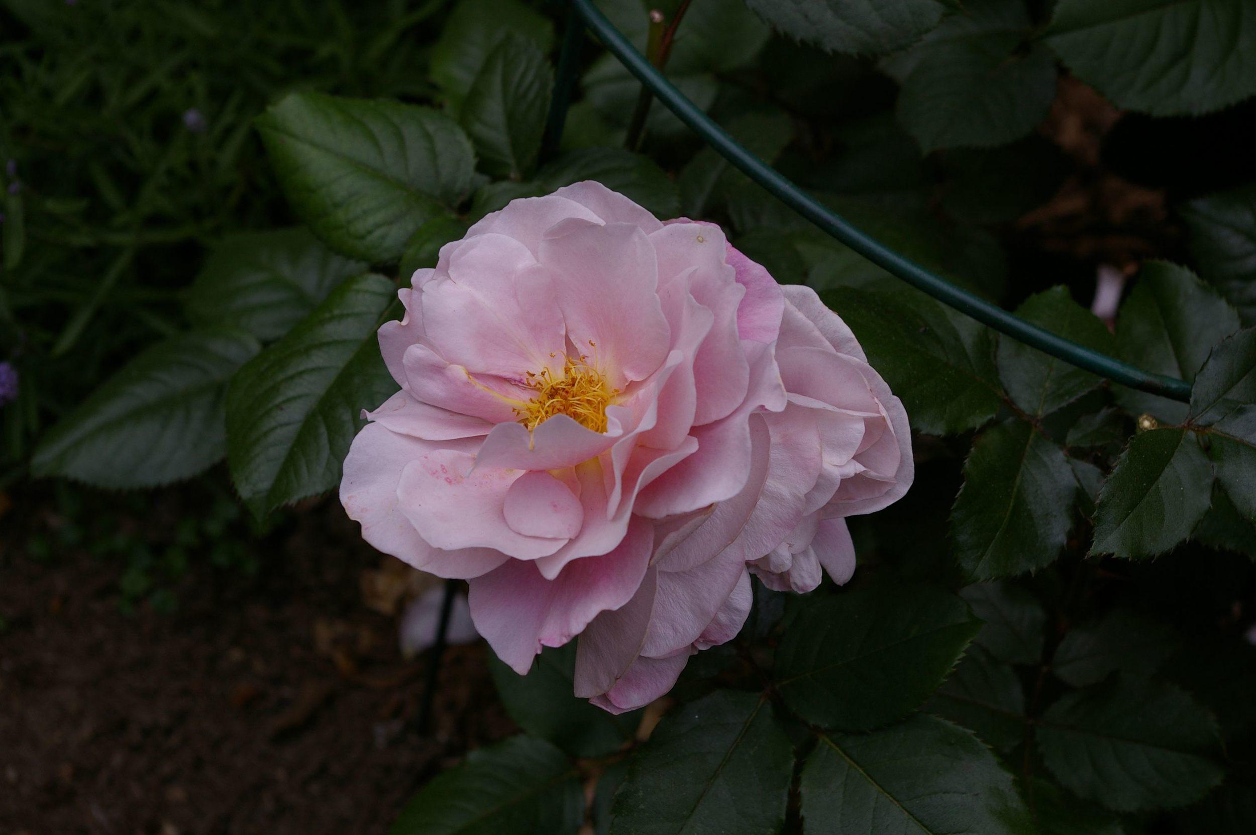 Elle Hybrid tea rose