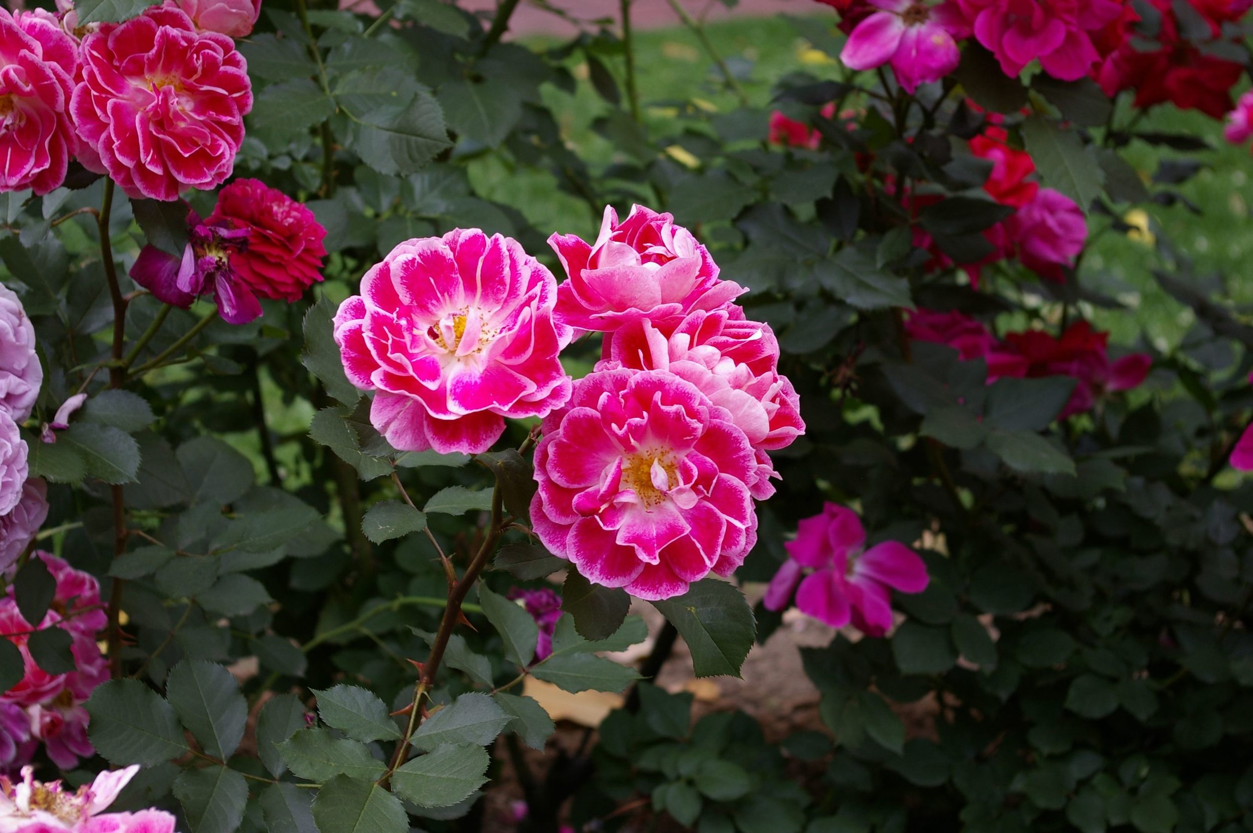 Light edged roses