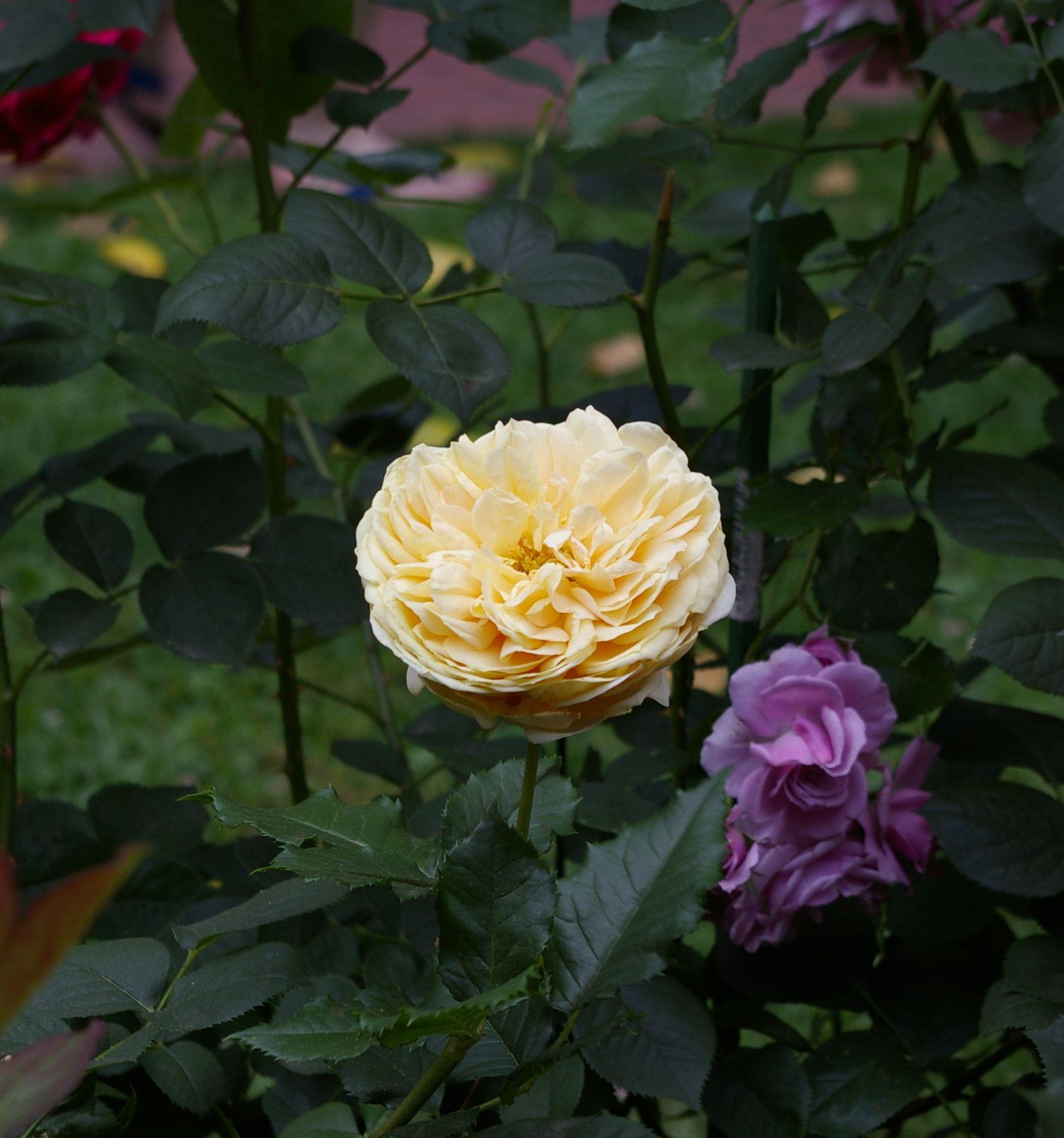 Delicate cream colored rose
