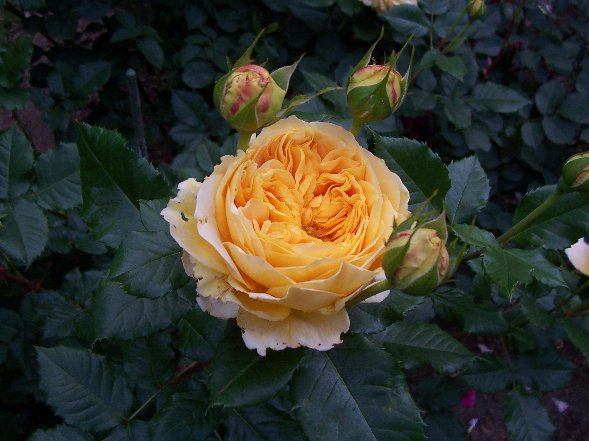 Melody Perfume rose