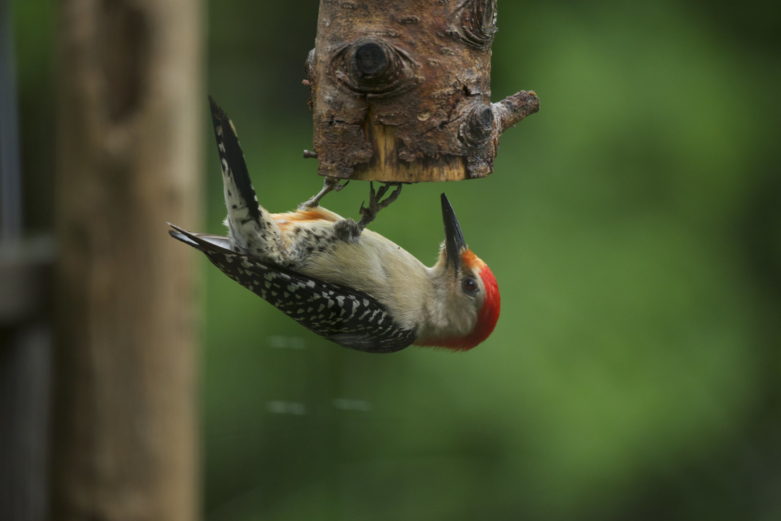 Many birds such as this Red-bellied Woodpecker feed very naturally by hanging upside down to use this feeder.