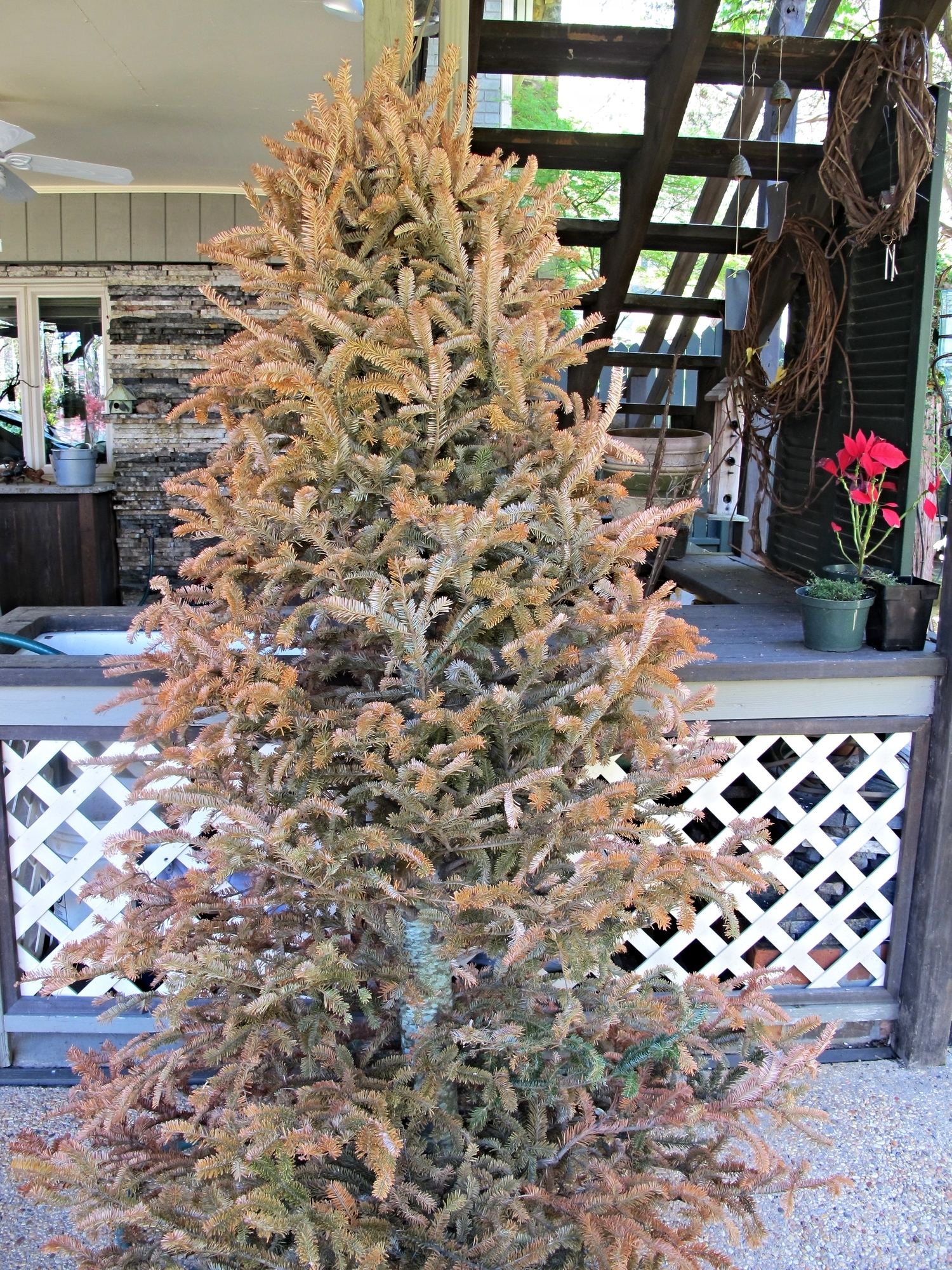 Recycle old Christmas Trees for rest of the winter outside by standing close to your feeders.  Birds will use for shelter and makes a great photo background.  In the Spring, the dried out tree can be made into suet log feeders.