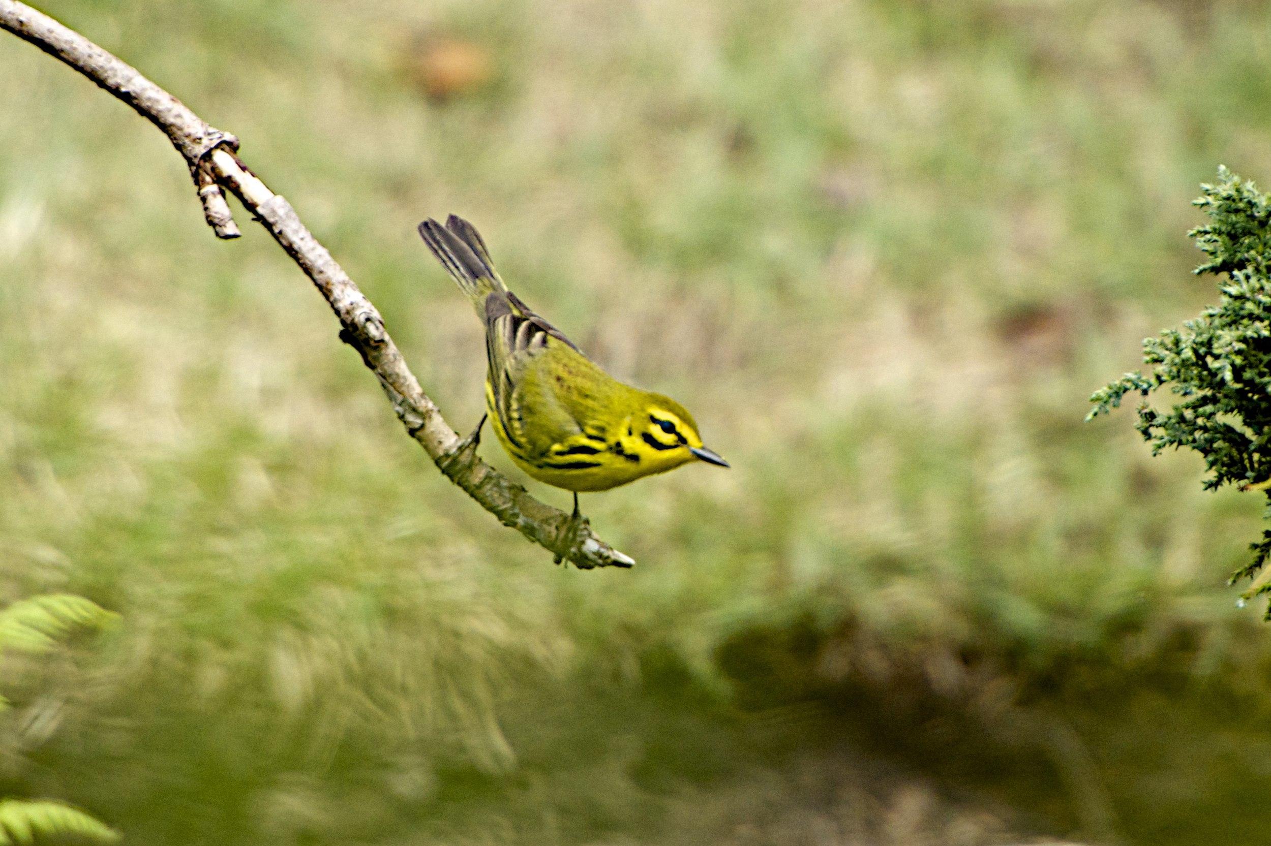 Prairie Warbler-Male
