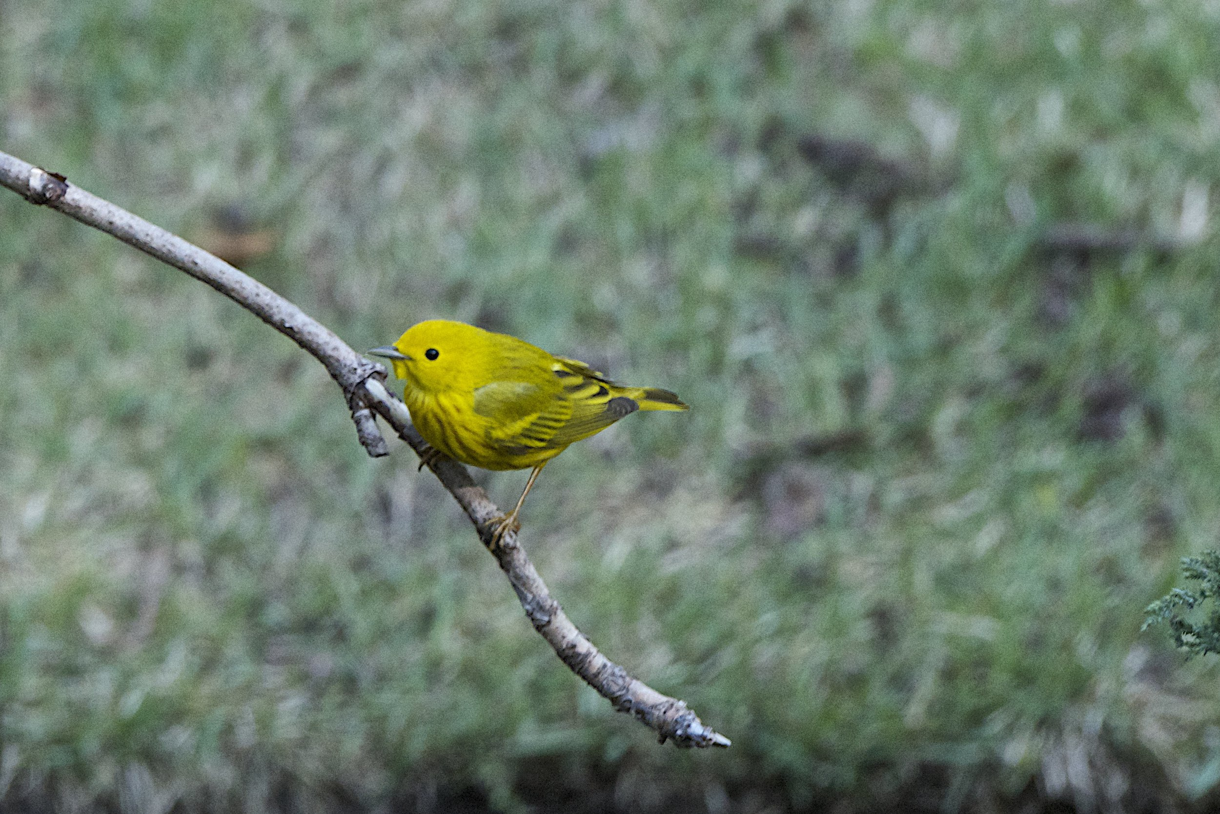Yellow Warbler-Male