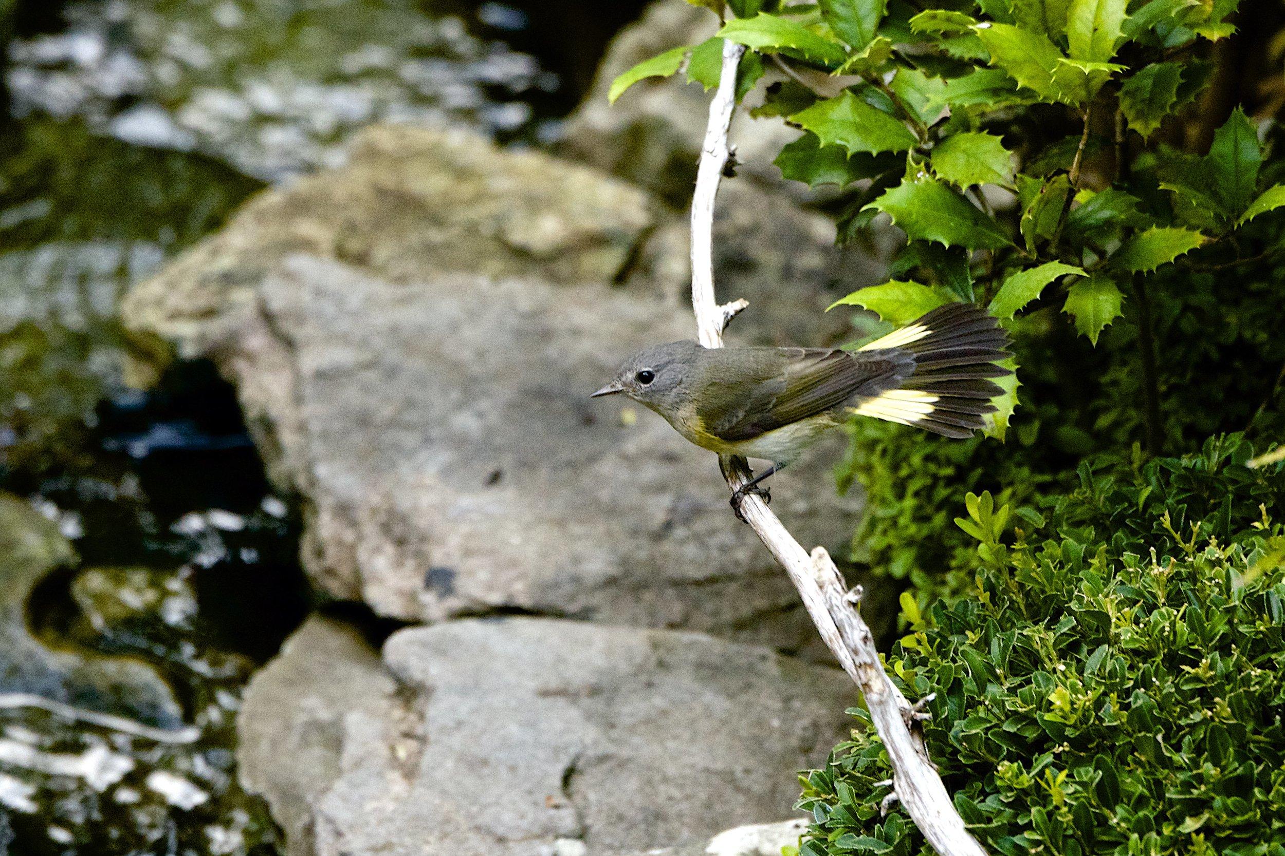 American Redstart-Female