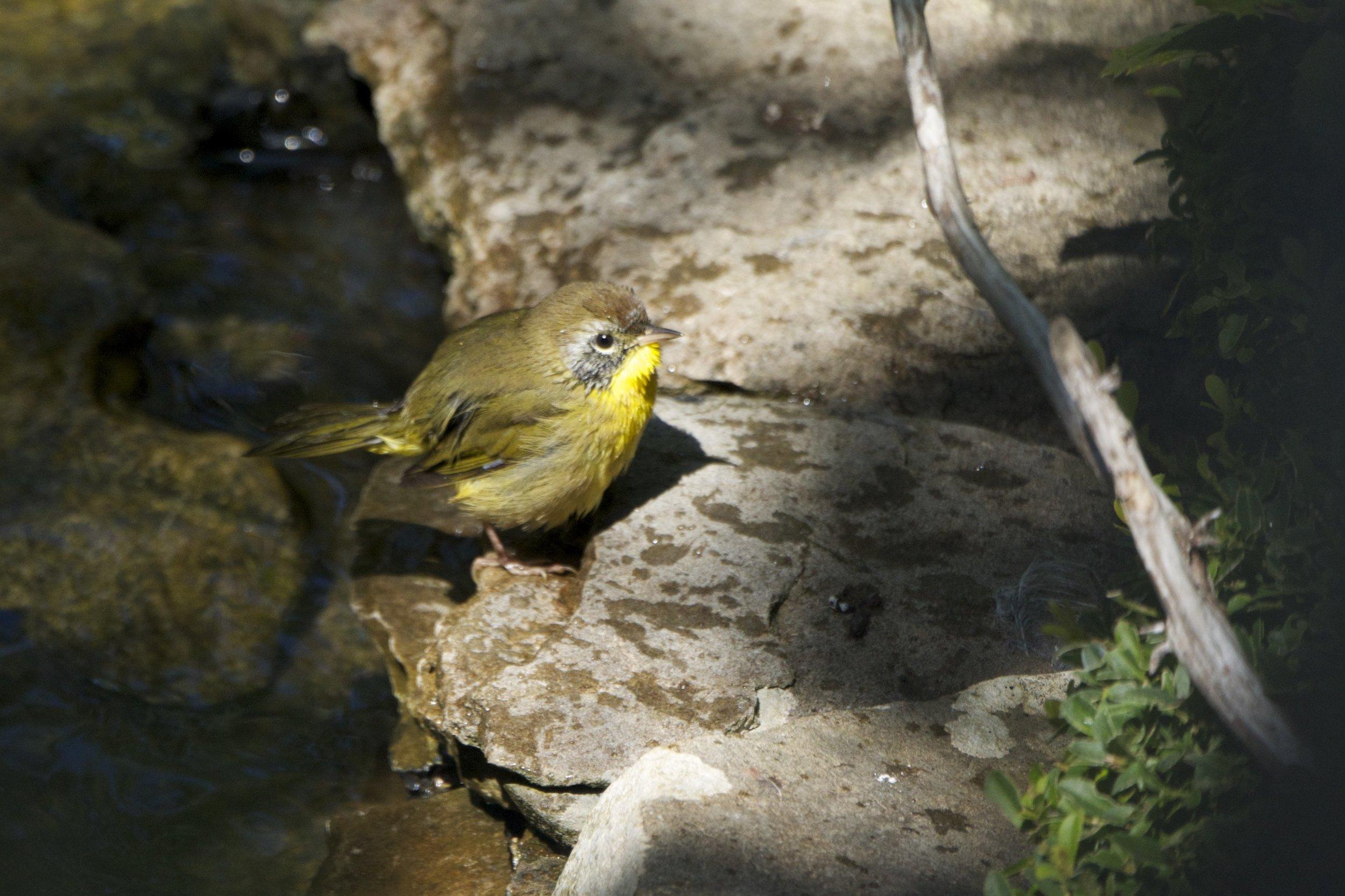 Common Yellow-throat-Female