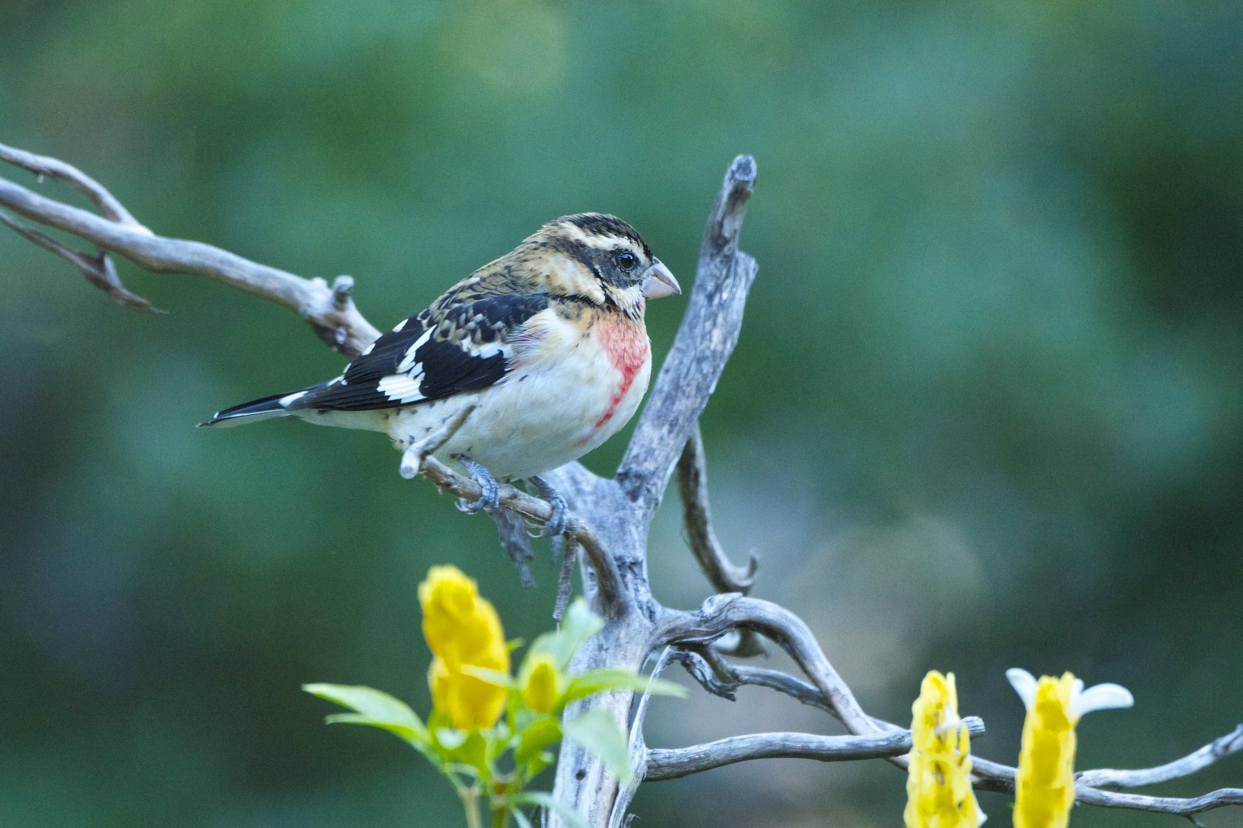 Rose-breasted Grosbeak-Juvenile Male