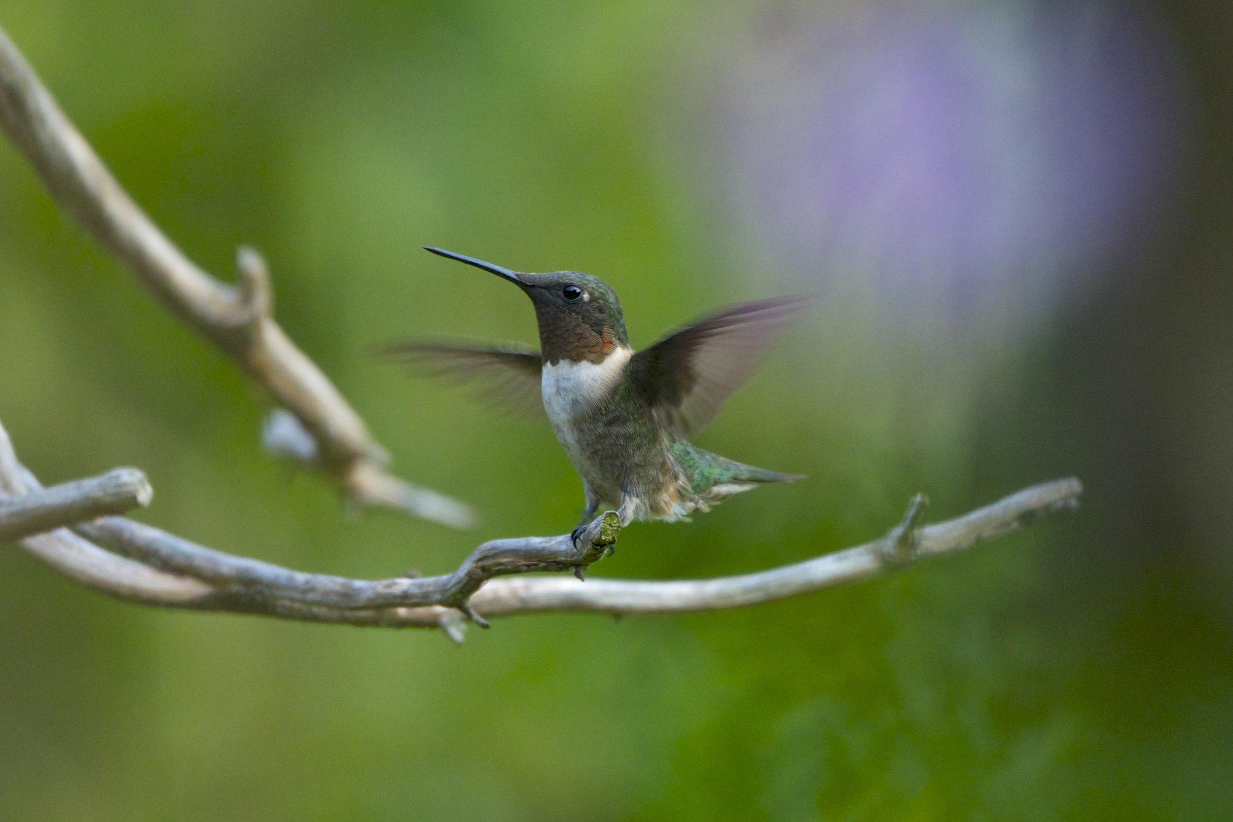 Ruby-throated Hummingbird-Male