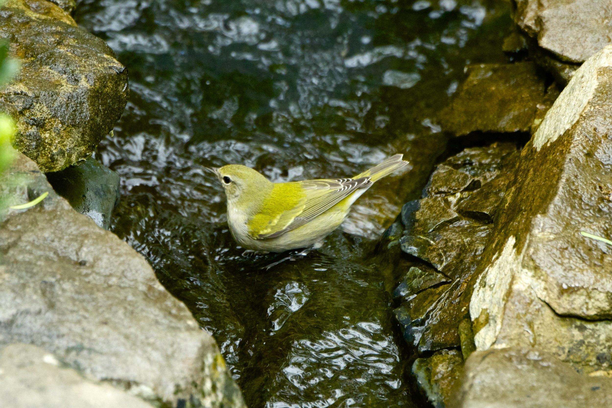 Tennessee Warbler-Juvenile