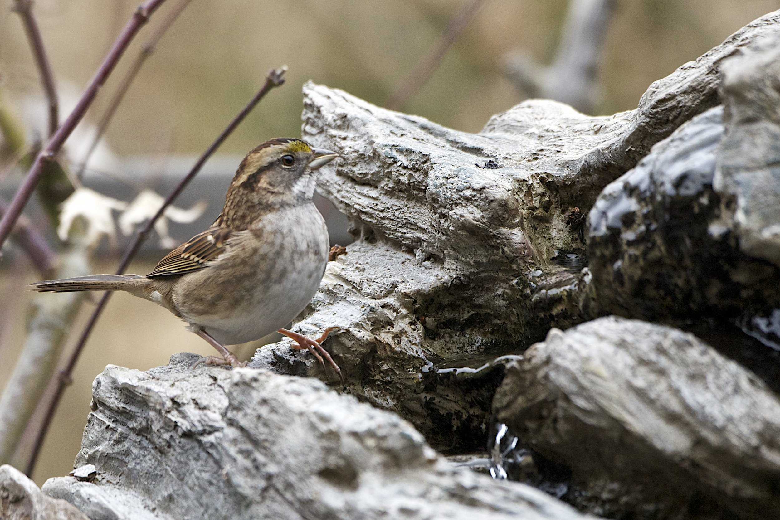 White-throated Sparrow-Male