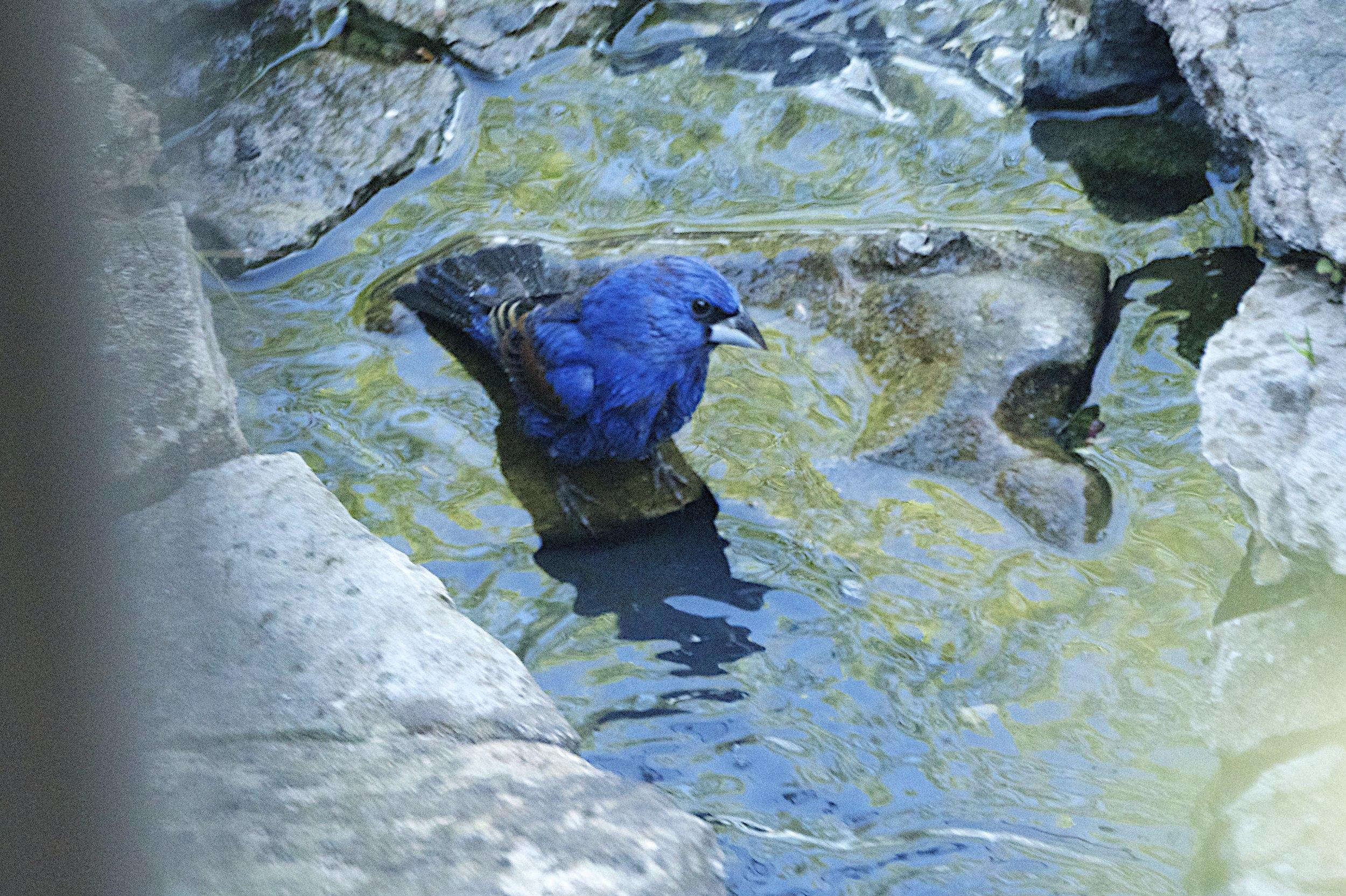 Blue Grosbeak-Male