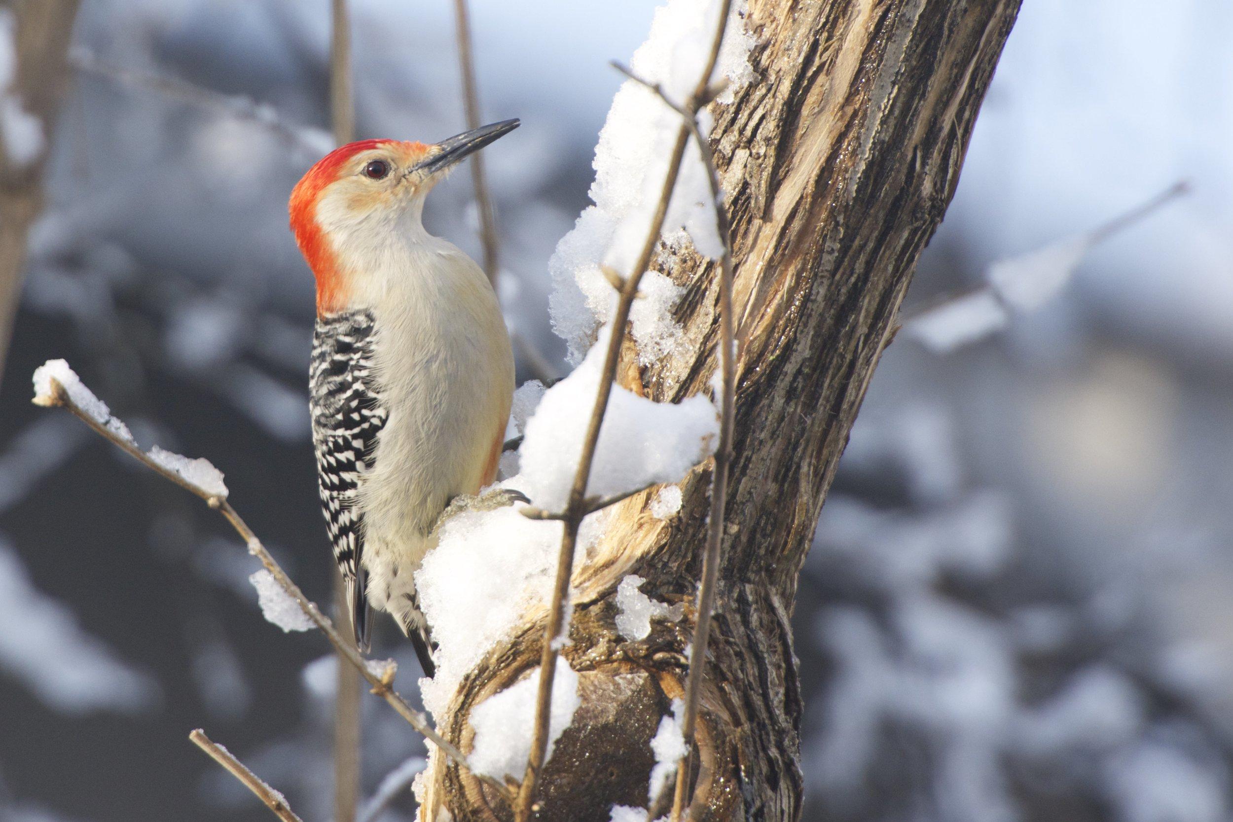 Red-bellied Woodpecker 1 - Version 2.jpg