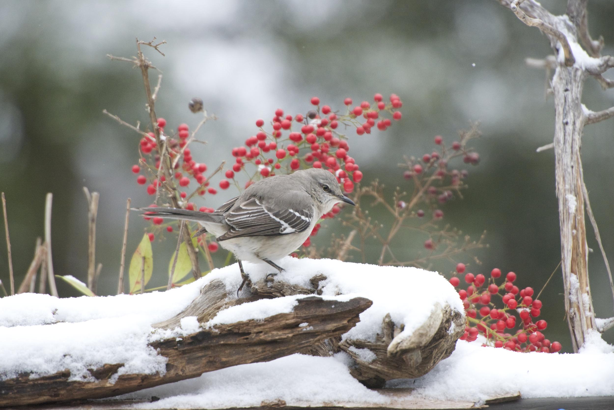 Northern Mockingbird 3.jpg