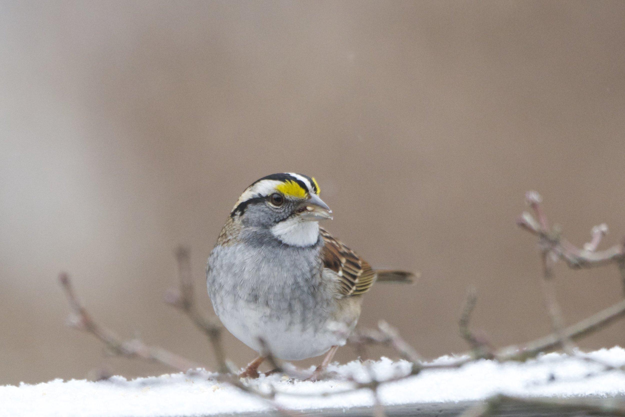 White-throated Sparrow 1 - Version 2.jpg