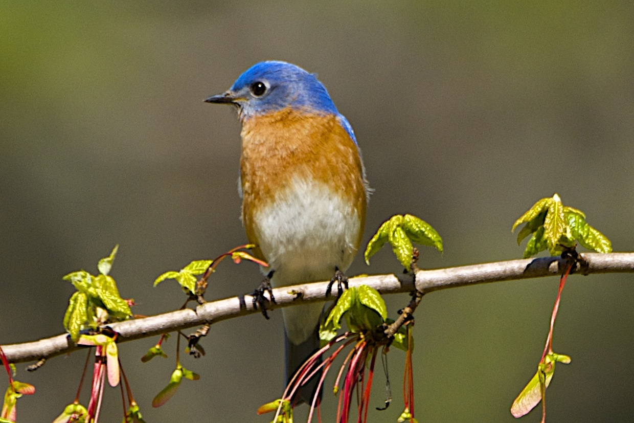 Eastern Bluebird-Male