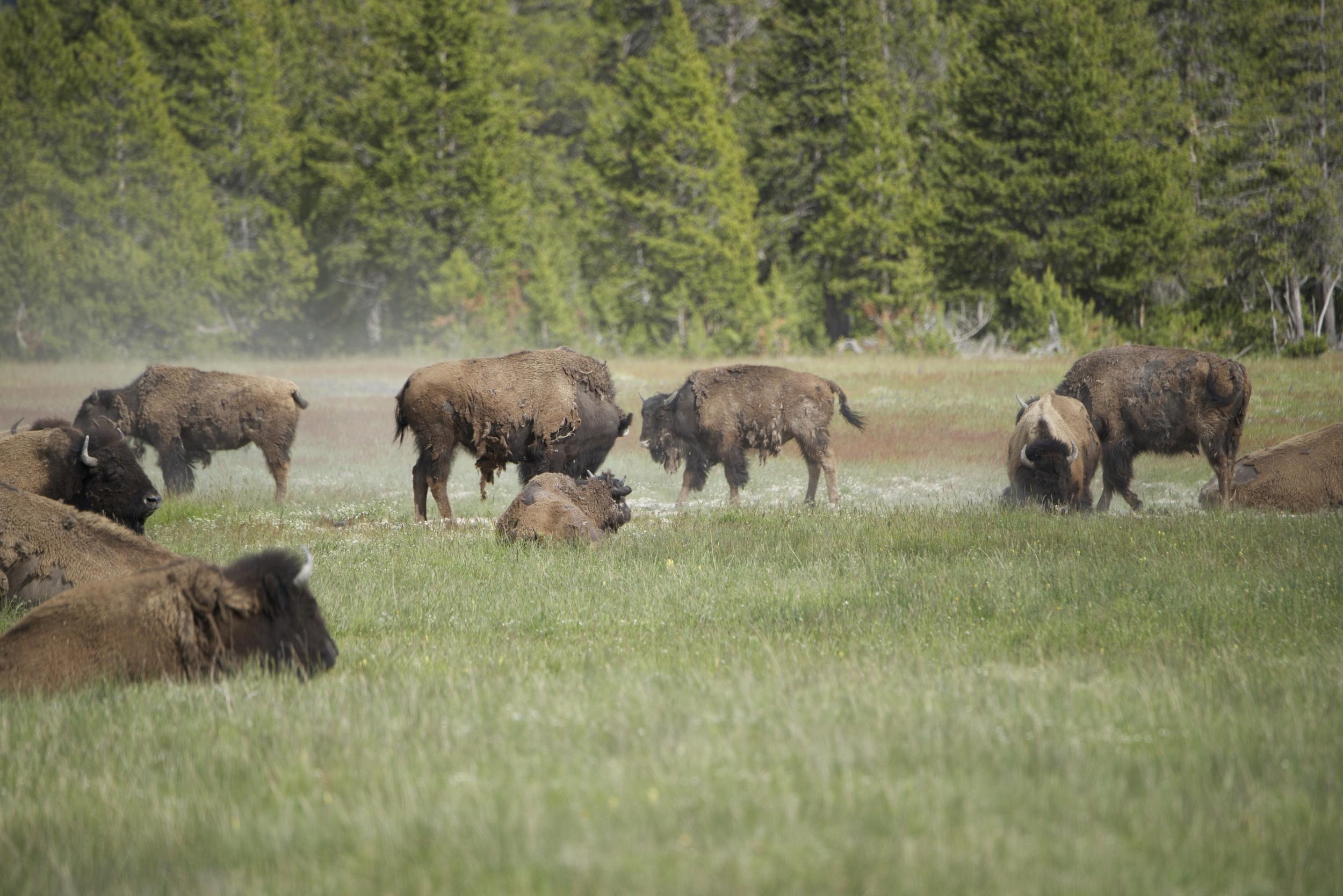 Bison Herd-Dust Bathing_3127.jpg