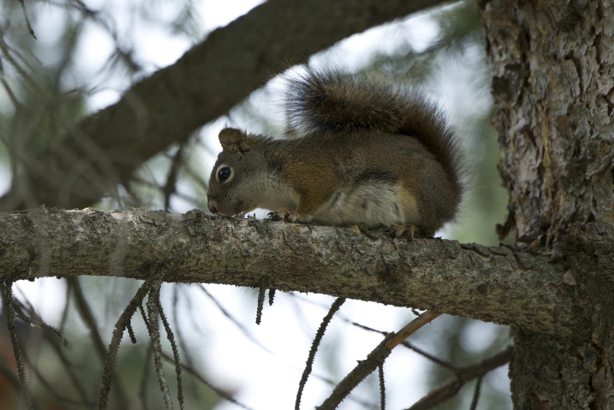 Red Squirrel_2218.jpg