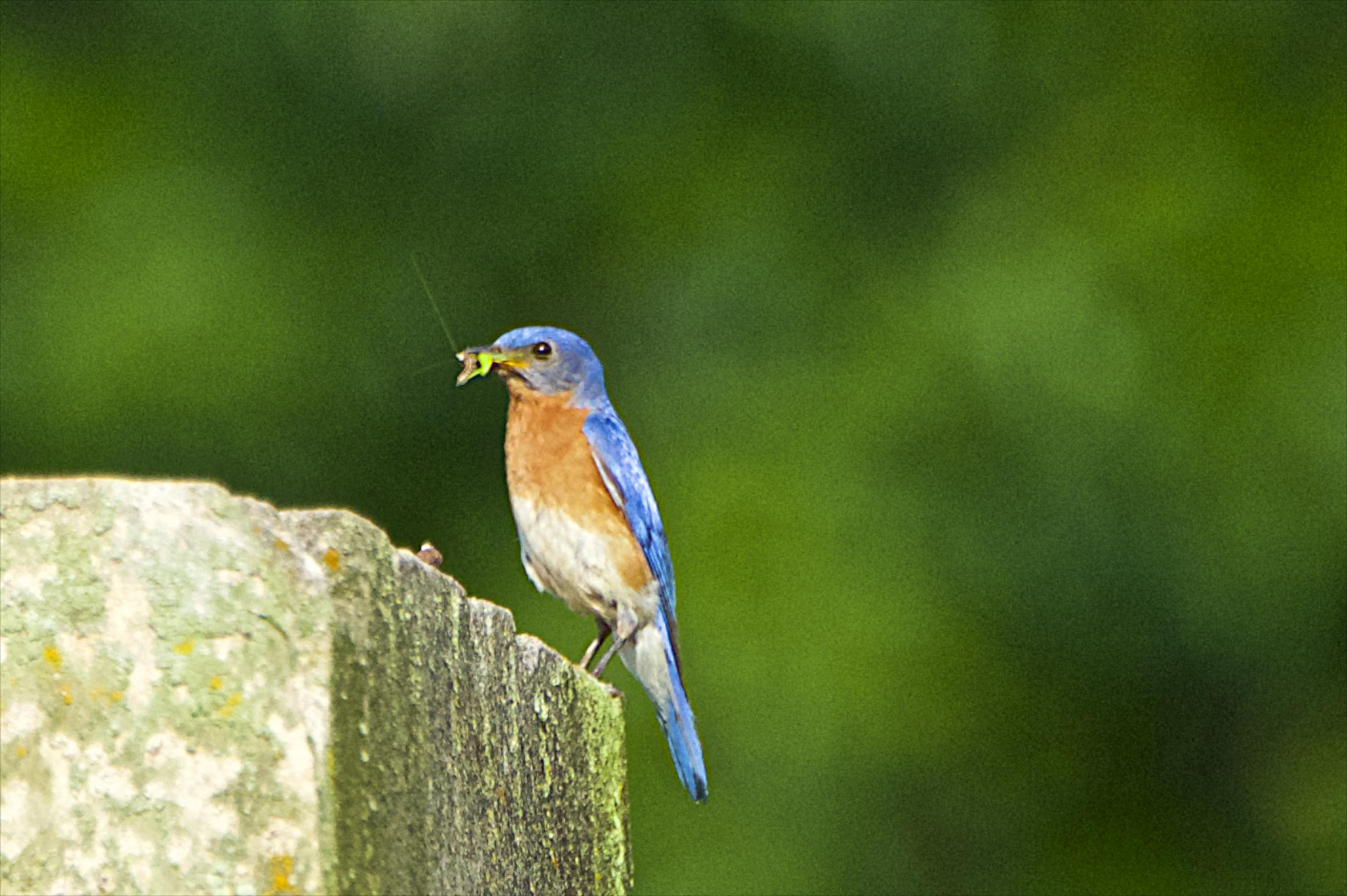 Eastern Bluebird-Male